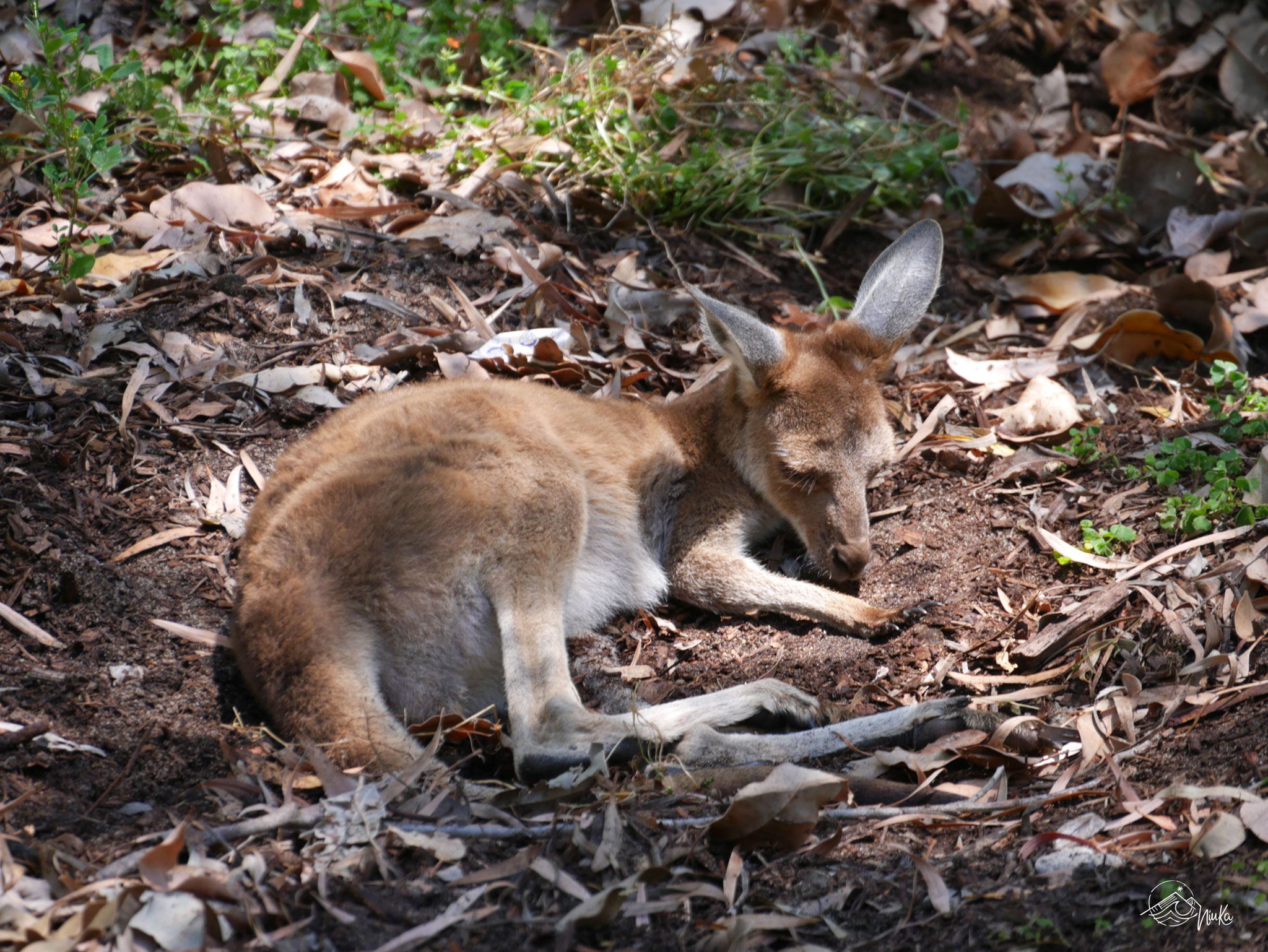 Känguru im Yanchep Nationalpark