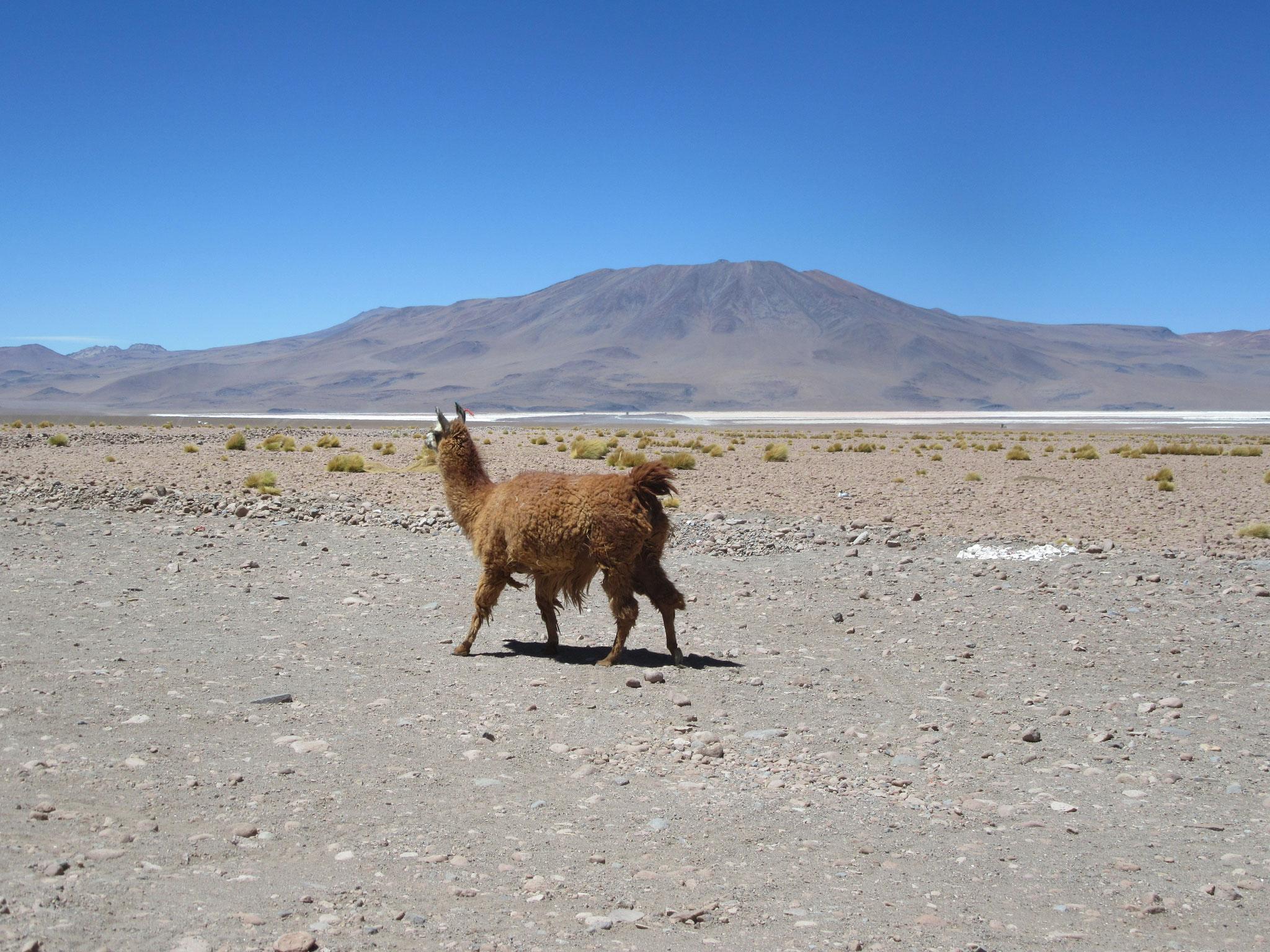 Lama in front of Laguna Colorada