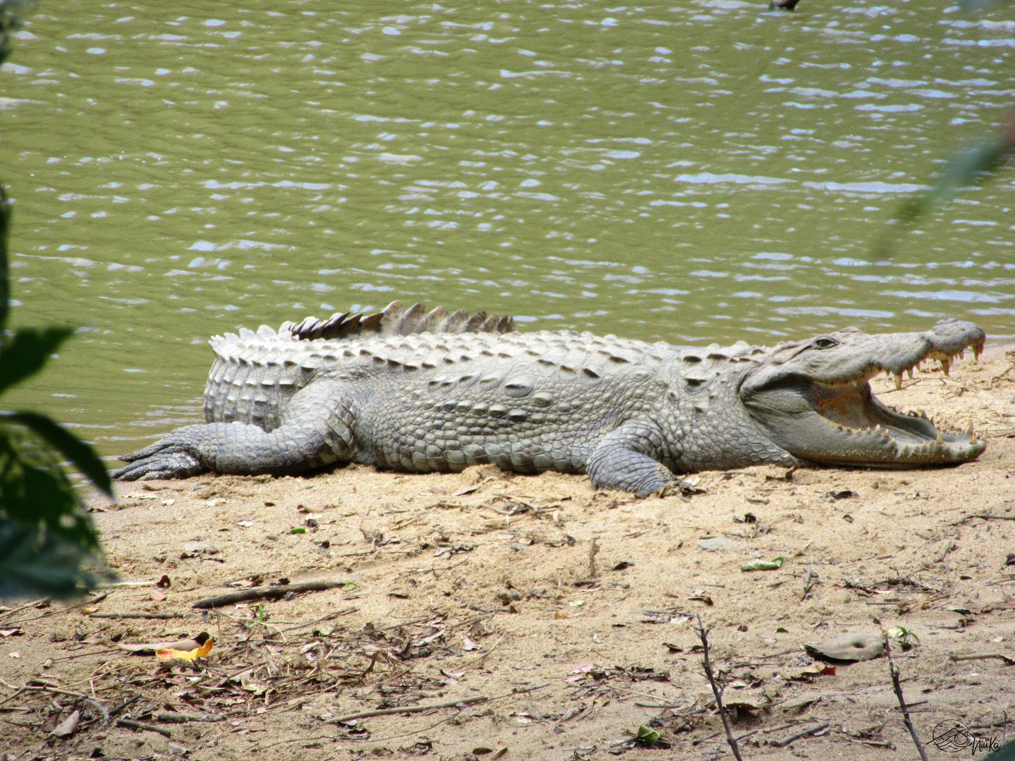 Crocodile in the wild