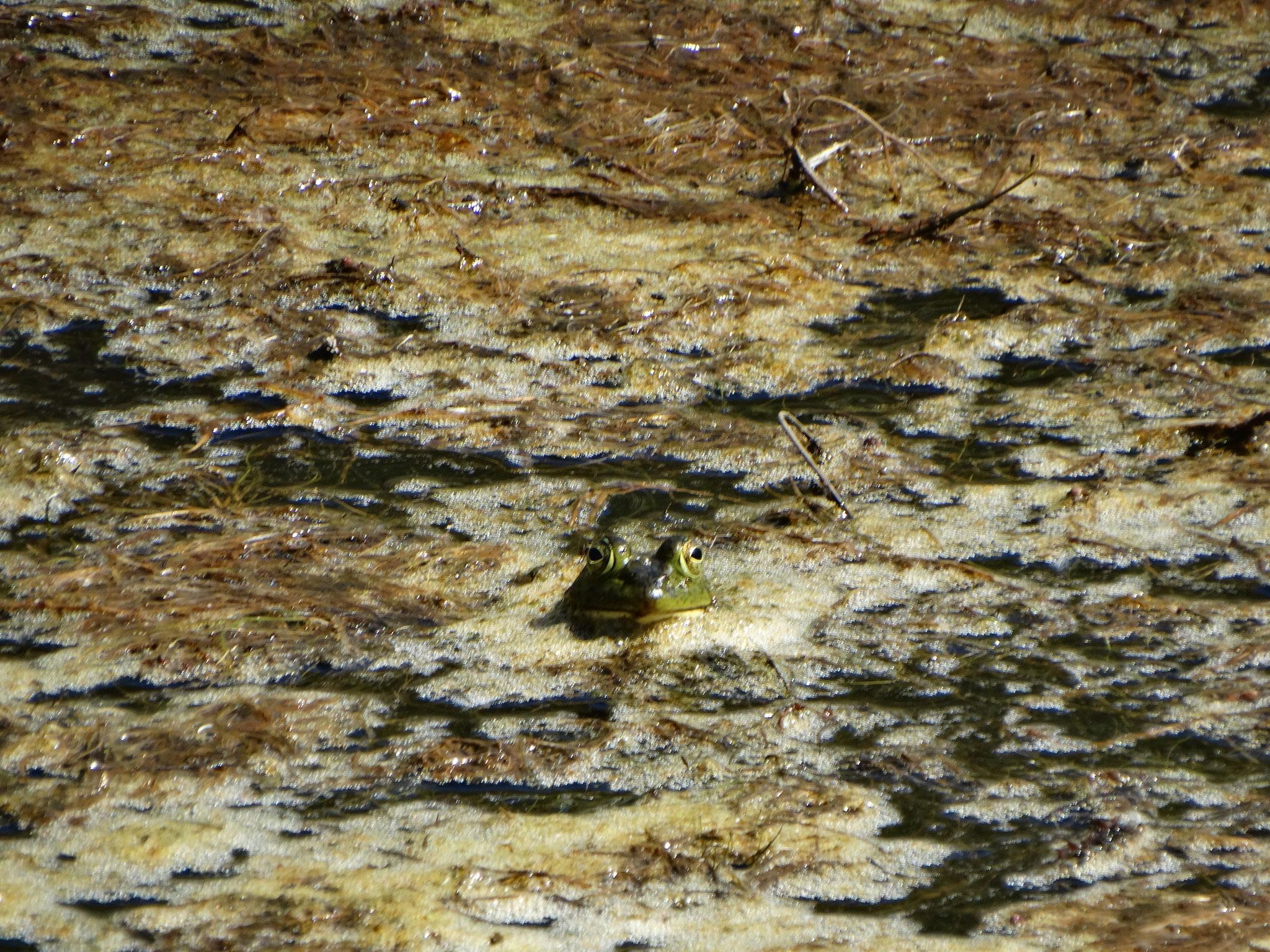 Rana toro en poza de el Salto, Ejido Santa Rosa