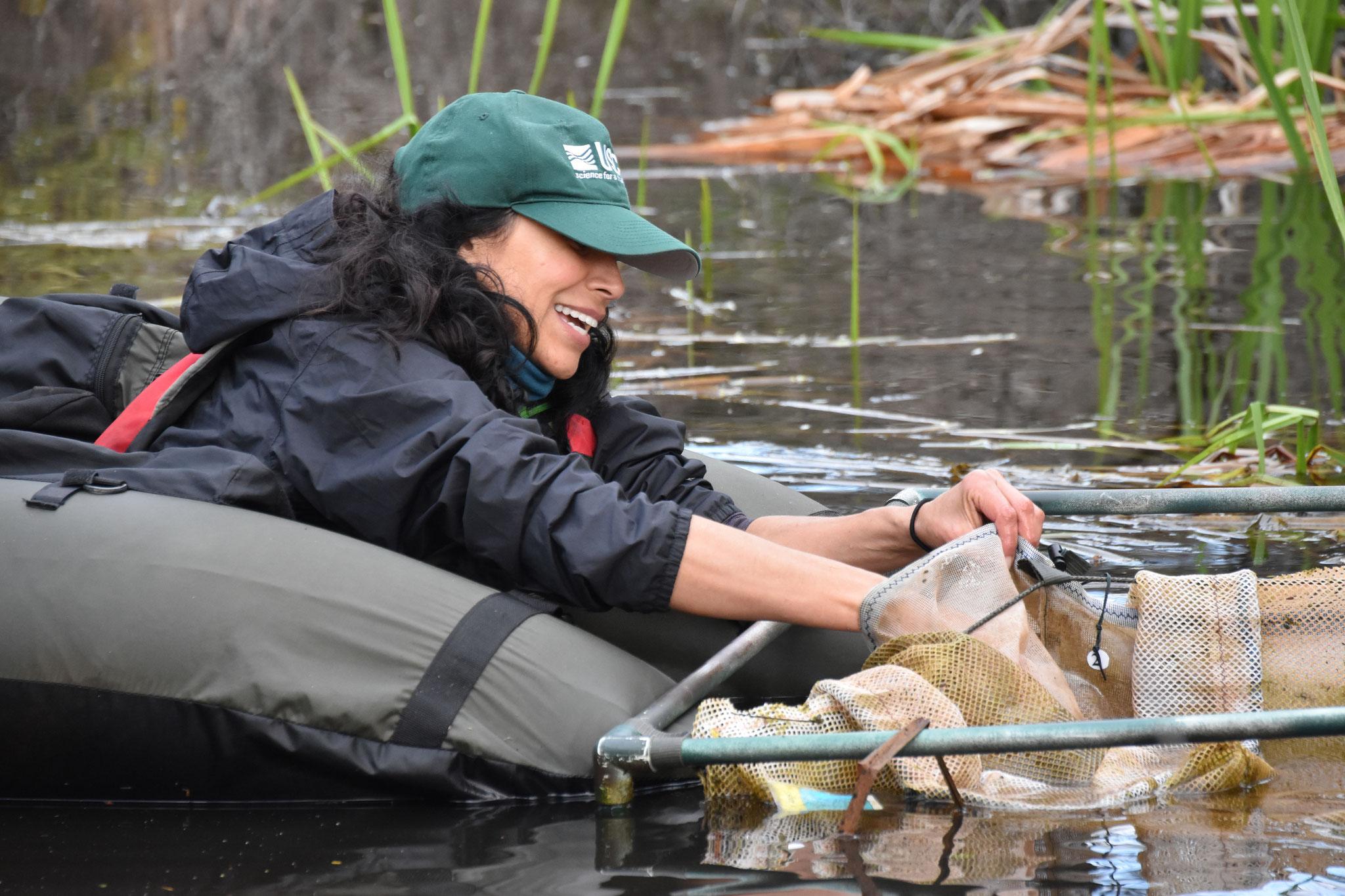 Biol. Liz Gallegos (USGS) colocando masas de huevos en encierros