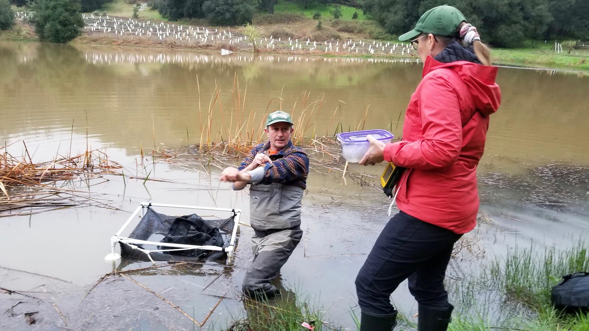Adam Backlin (USGS) en Santa Rosa Plateau, California colocando masas de huevos en encierros