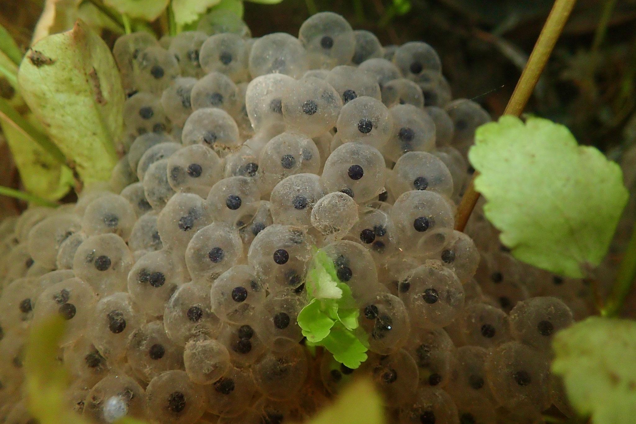 Masa de huevos de rana de patas rojas (Rana draytonii)