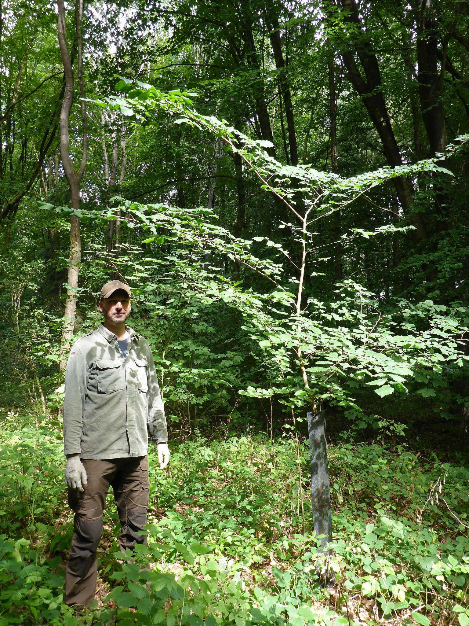 Prächtig entwickelte Flatterulme der 2009er Pflanzung im Sommer 2018.