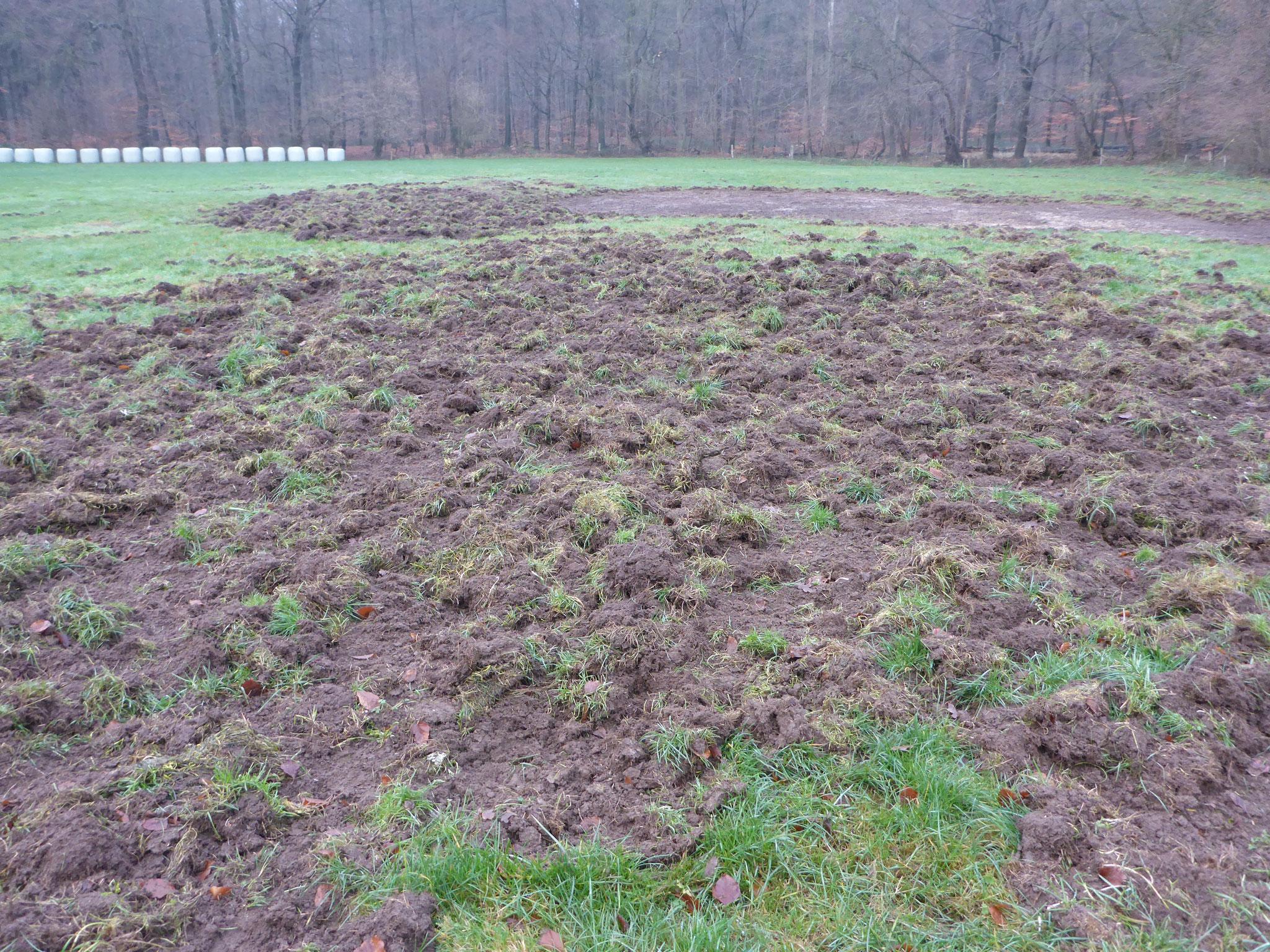 Die Wildschweine waren fleissig - diese Bereiche (insgesamt rund 1/4 der gesamten Fläche!) wurden im Frühjahr mit einer Regio-Saatgutmischung aus heimischen Wildpflanzen eingesät.