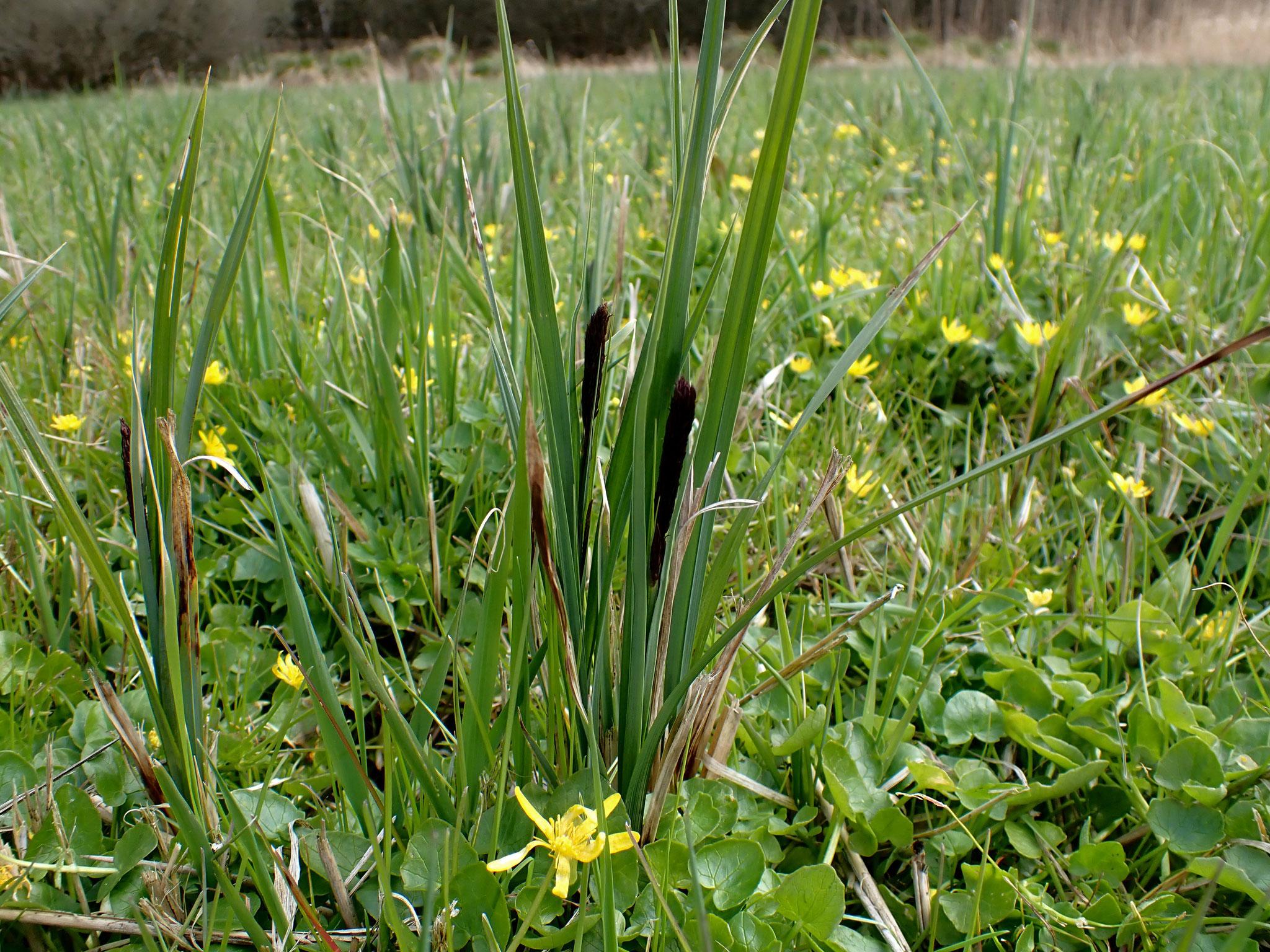 Austreibende Schlank-Segge kurz vor der Blüte.