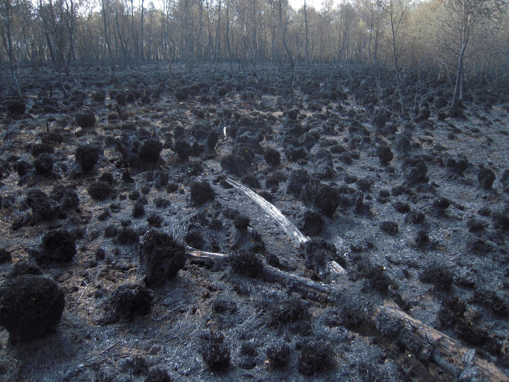 Moorbrände traten wiederholt in den durch Entwässerung trockenen Moorbereichen auf, zuletzt 2011.