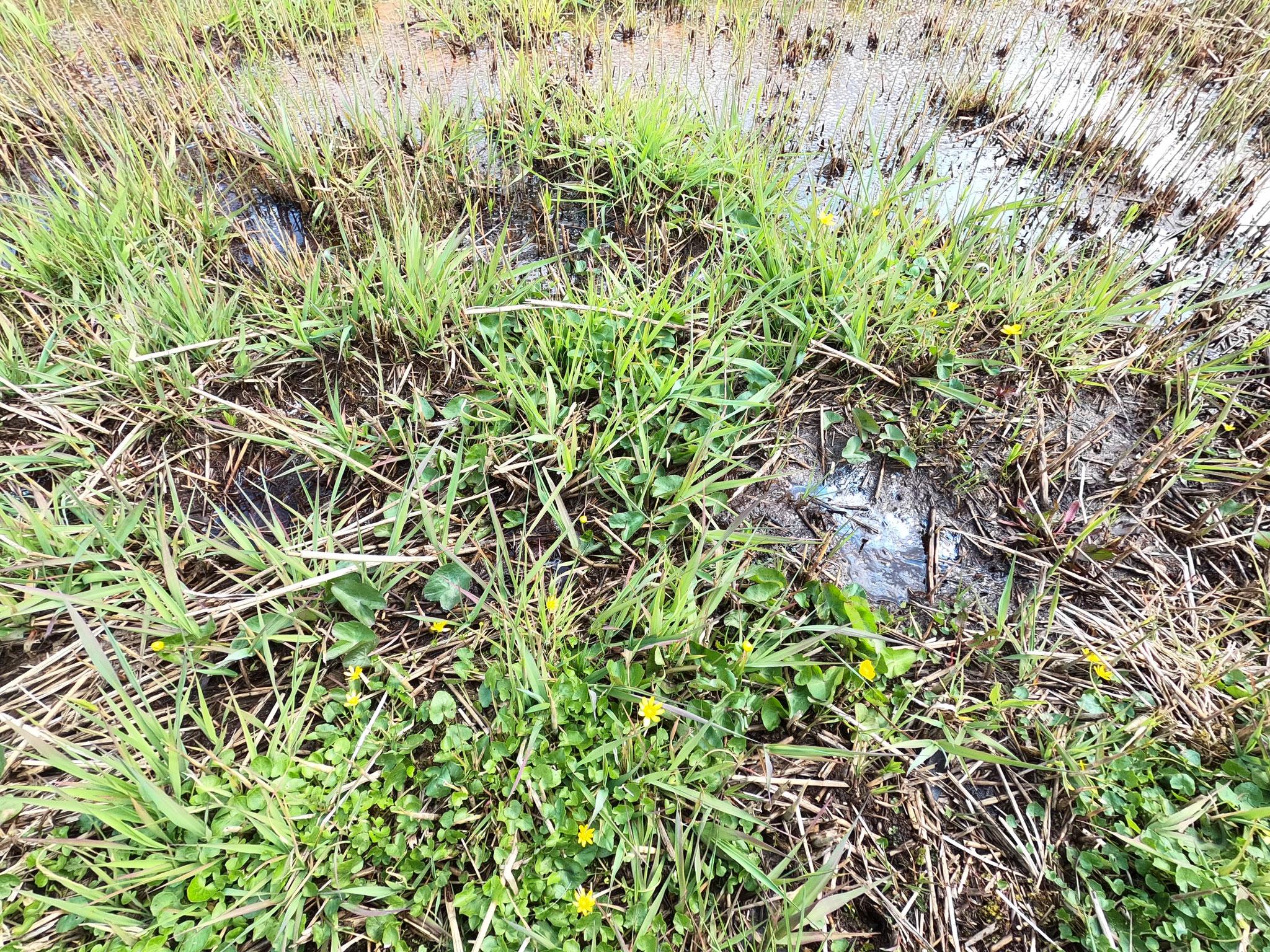 In der Bildmitte zahlreiche Jungpflanzen der Sumpfdotterblume; im Vordergrund blühendes Scharbockskraut mit ähnlichen Blätter.
