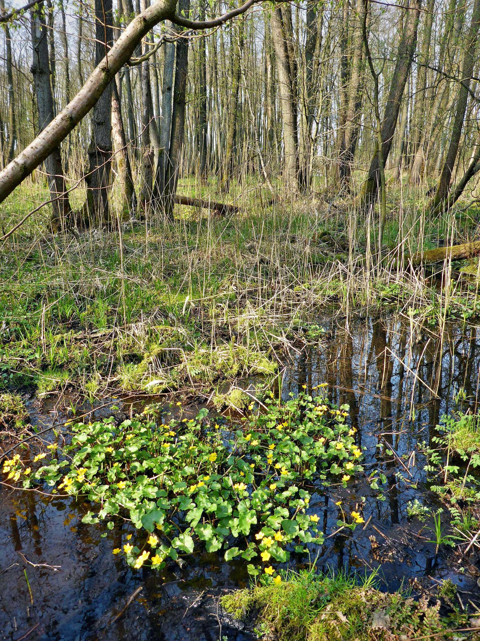 Sumpfdotterblumenpolster prägen jetzt die nassesten Auwaldbereiche.