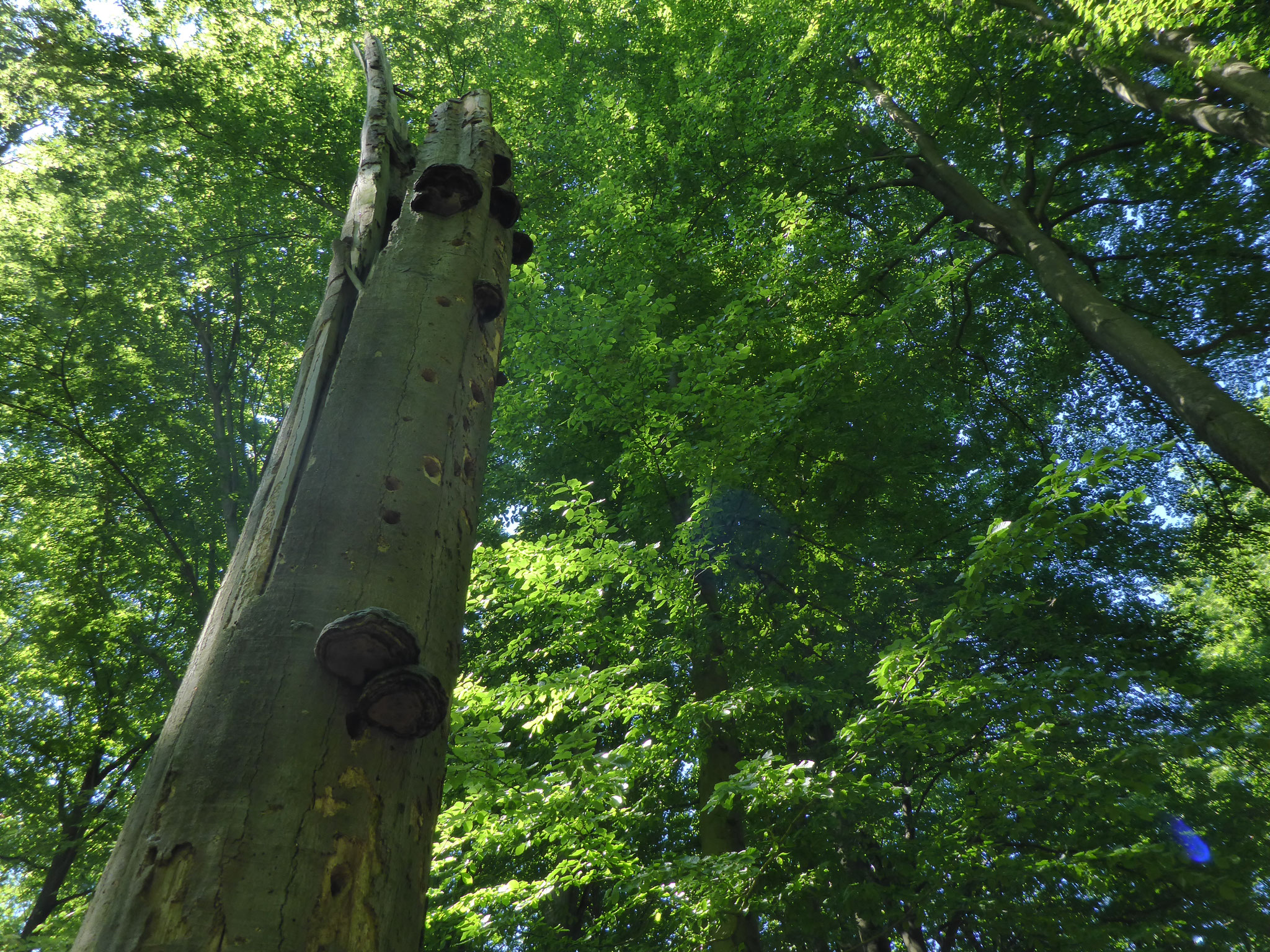 """Und im Jahr 2017 - Der Stamm steht noch und ist ein beliebter """"Spechtbaum"""""""