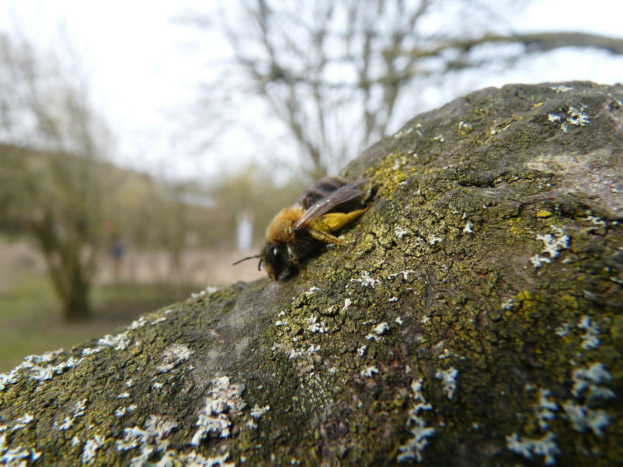 Eine aus dem Winterschlaf erwachte Wildbiene.