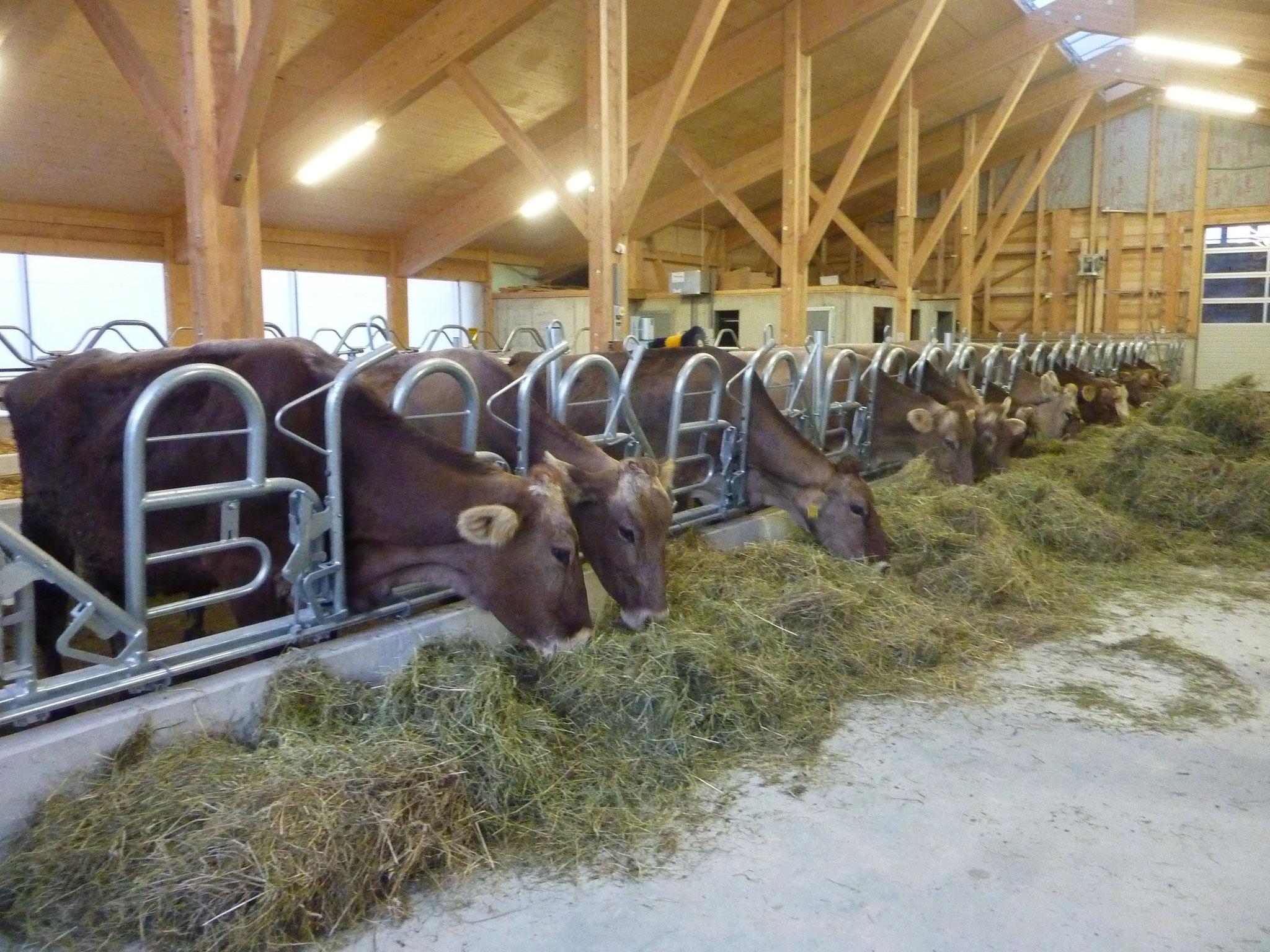 Einzug der Kühe
