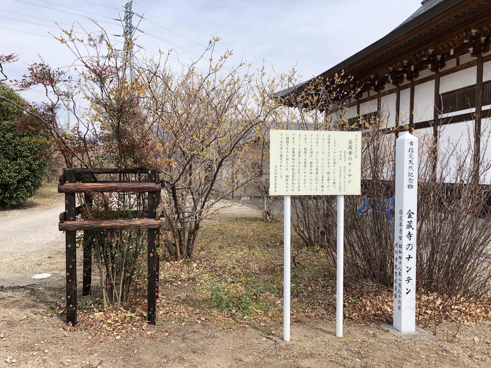 渋川市指定の天然記念物 金蔵寺のナンテン