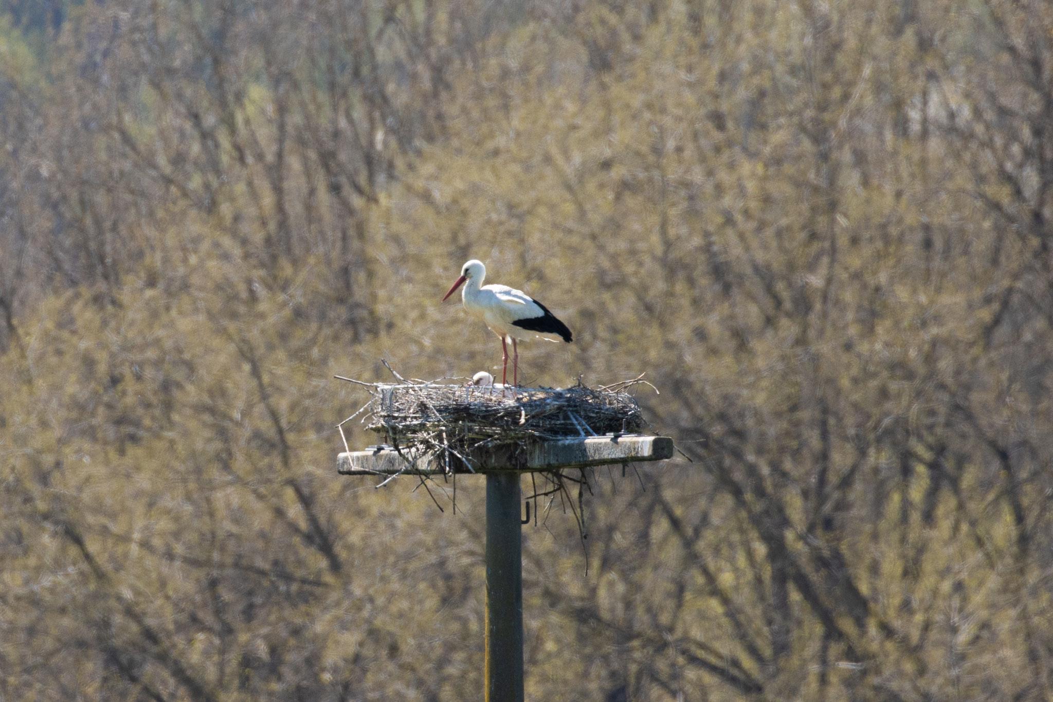 Storchenpaar im Nest am 26.04.2021 (Foto: B. Budig)