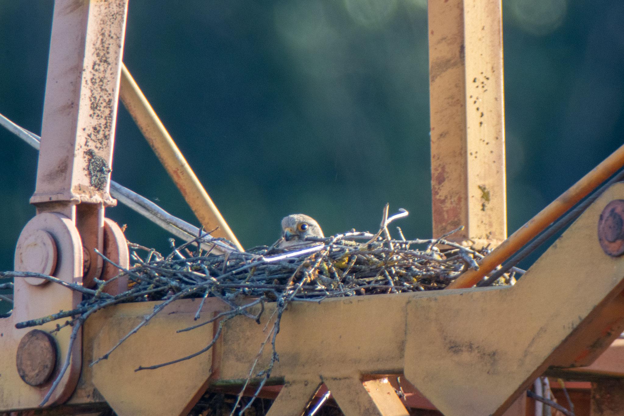 Turmfalkenweibchen sitzt im Nest (Foto: H. Budig)