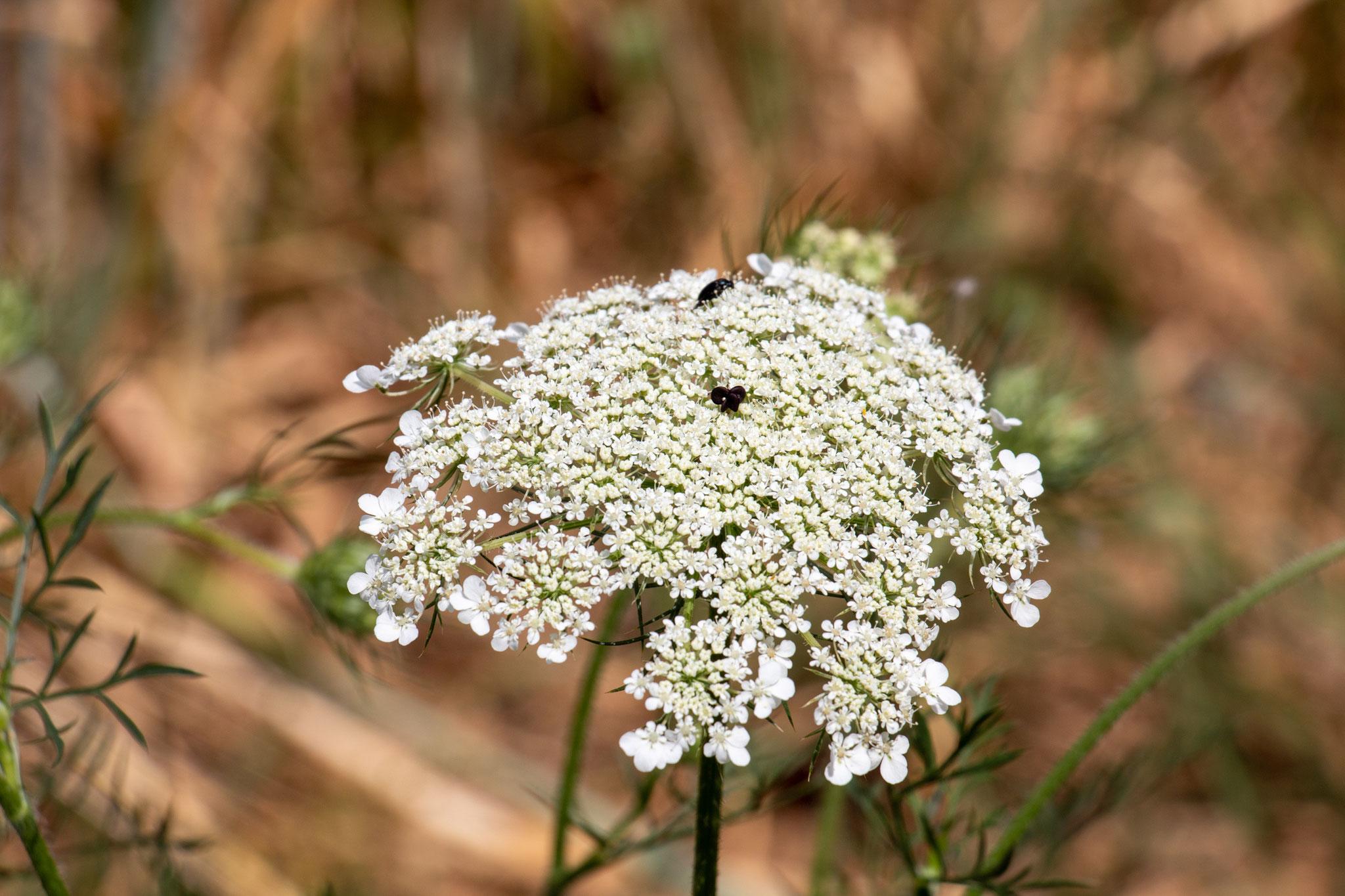 Wilde Möhre (Daucus carota) (BB)