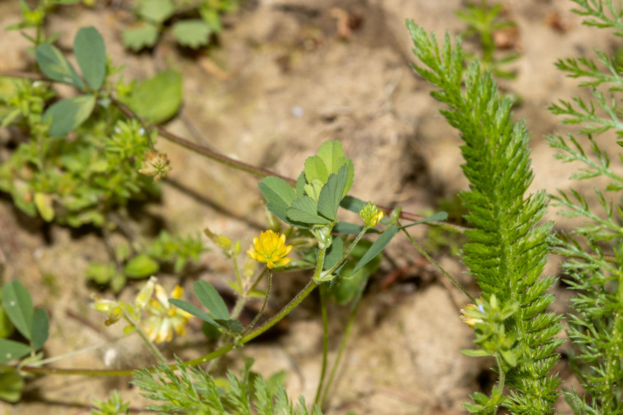 Zwergklee [Trifolium dubium] (Foto: B. Budig)