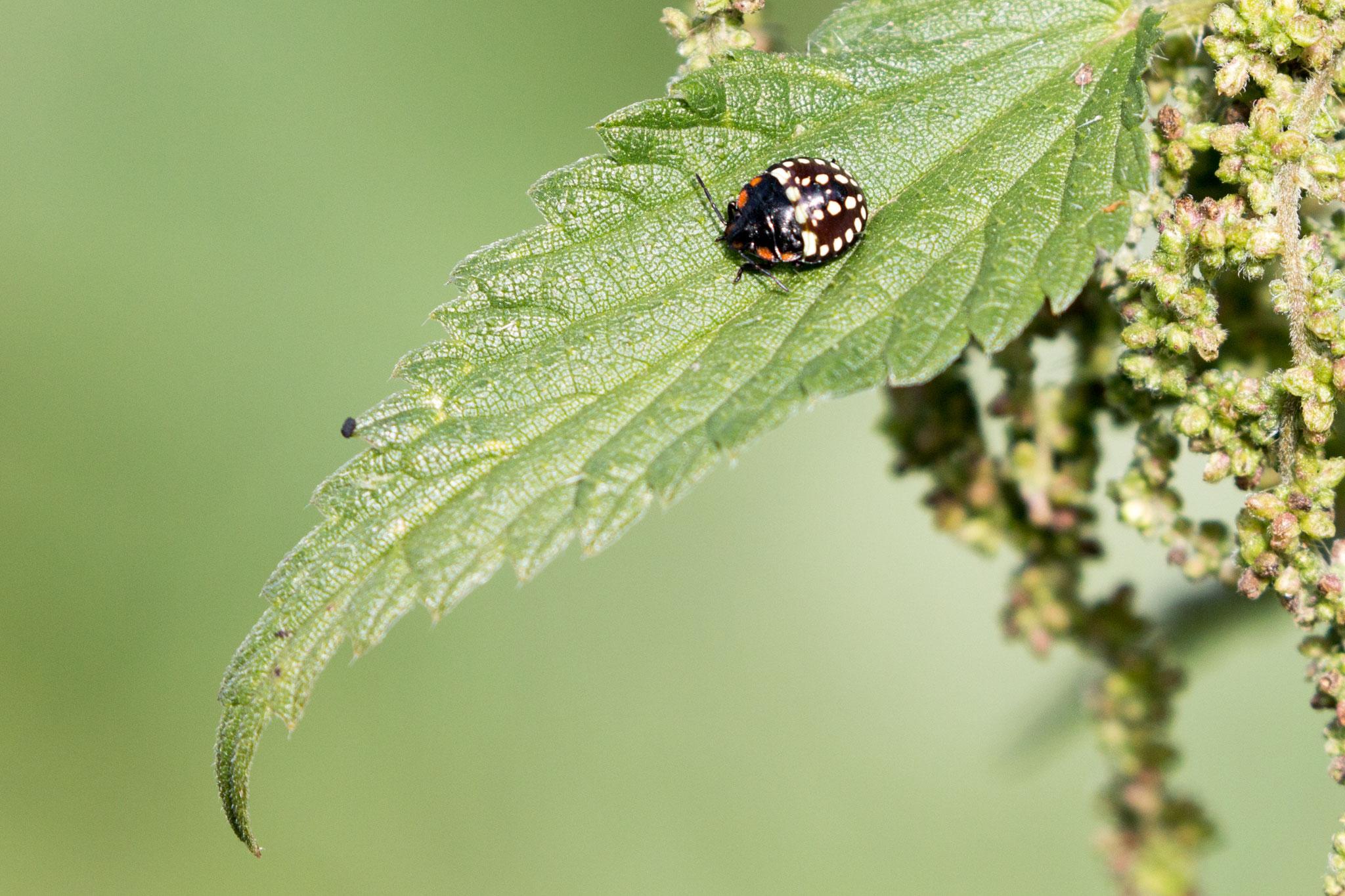 Larvenstadium einer Blattwanz