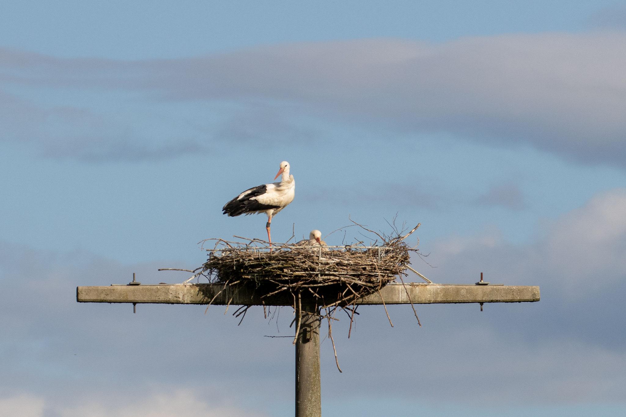 Storchenpaar im Nest am 23.05.21 (Foto: B. Budig)