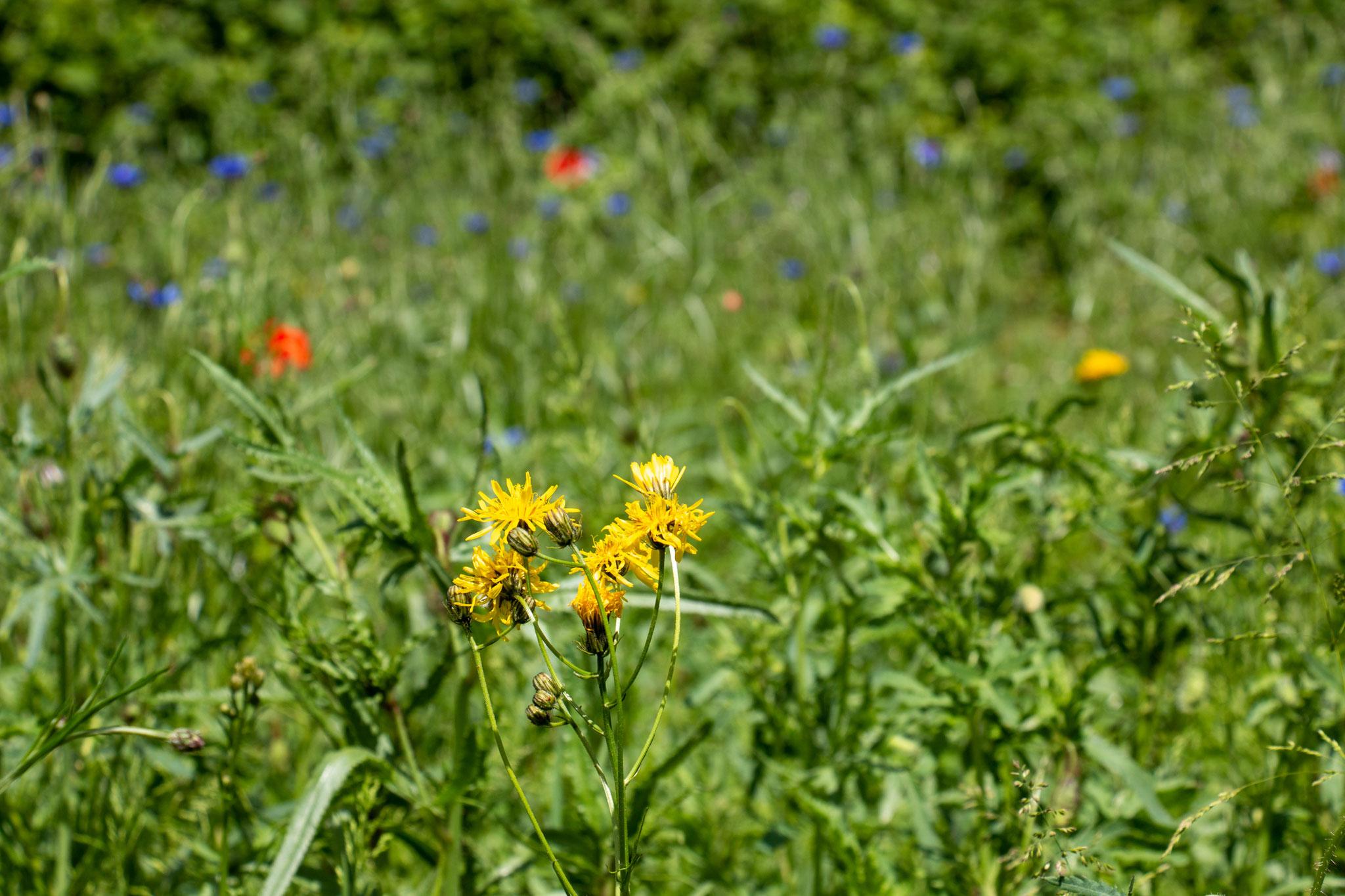 Wiesen-Pippau [Crepis biennis] (Foto: B. Budig)