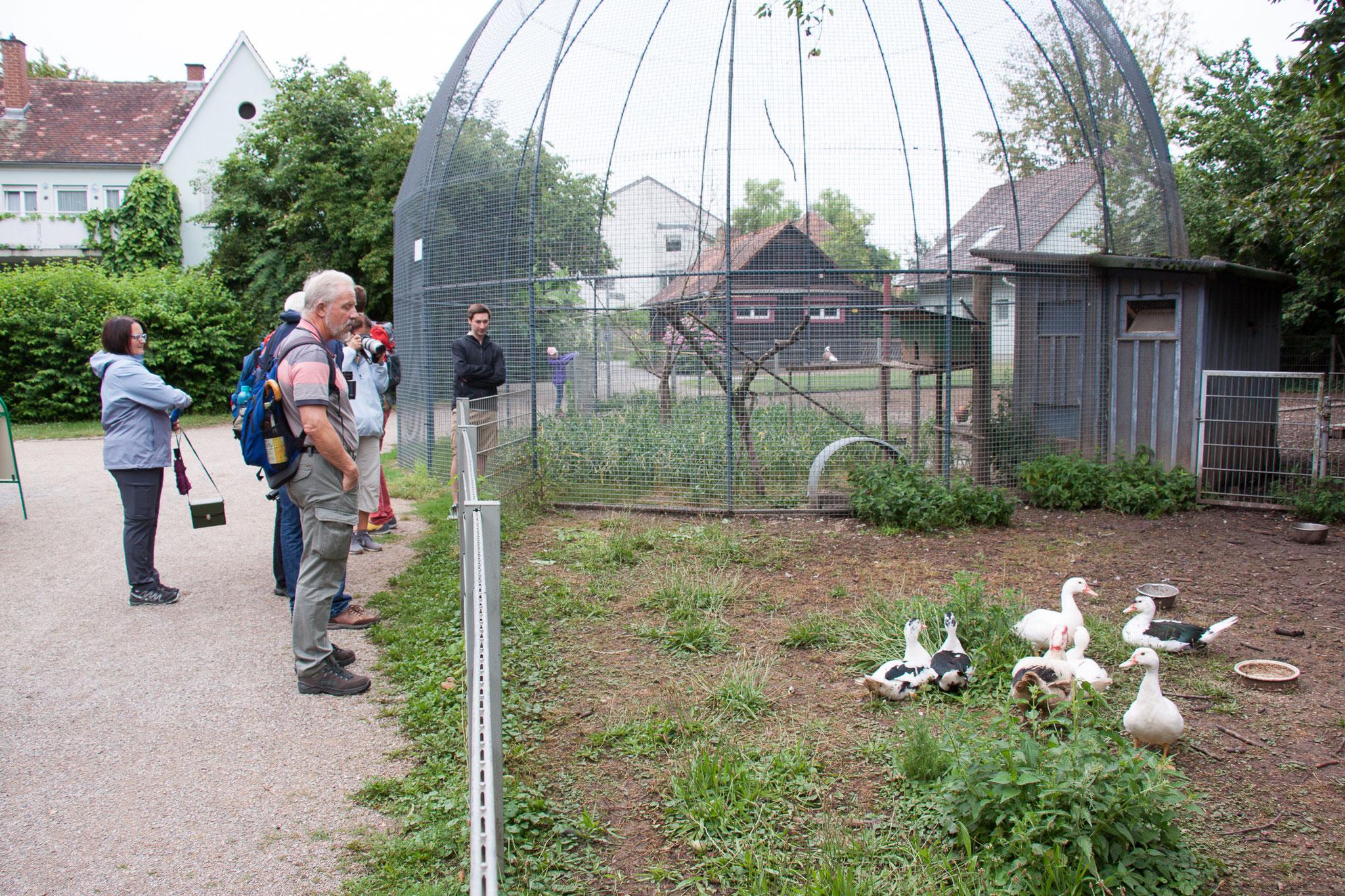Enten und Tauben in der Voliere