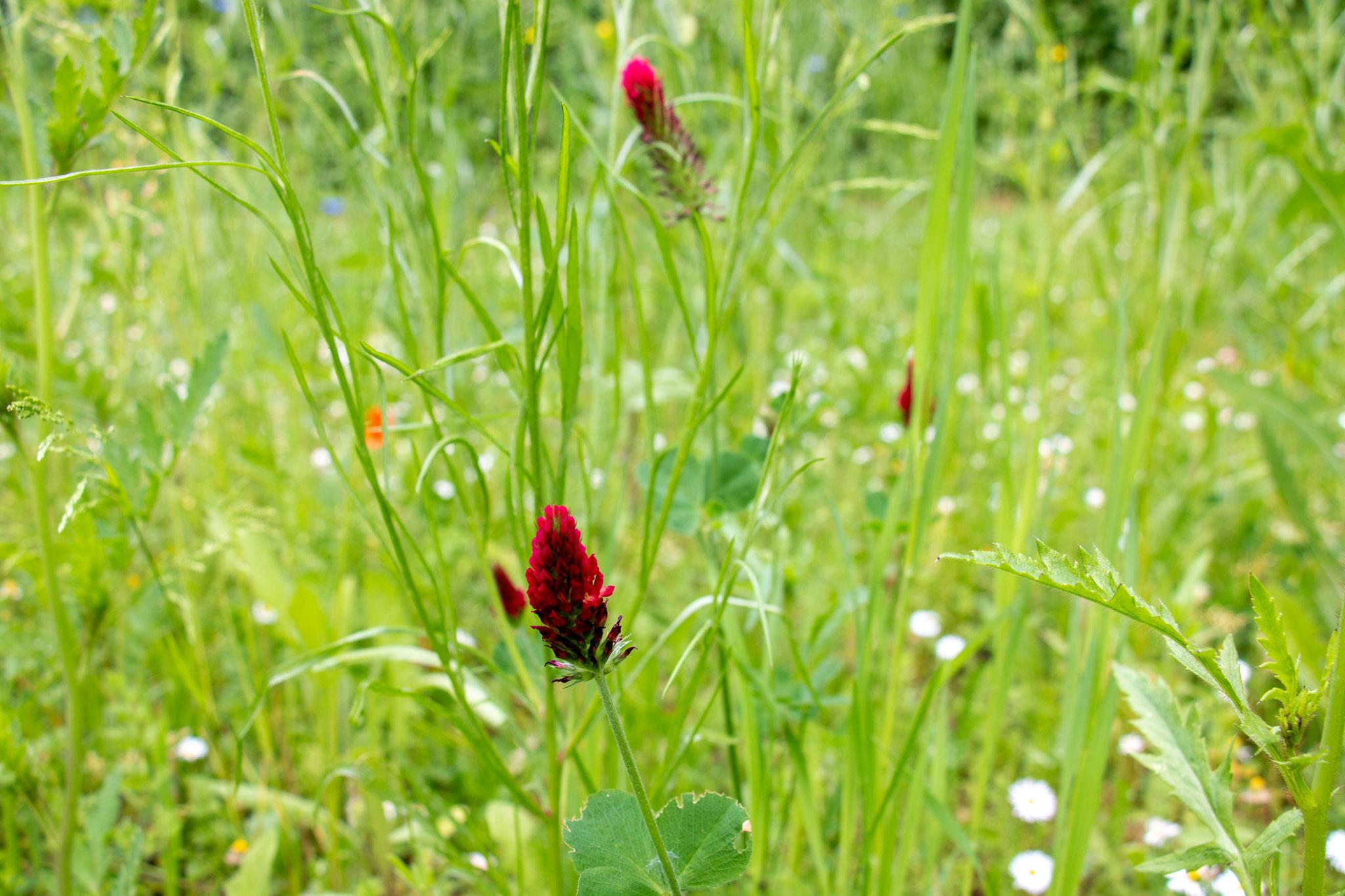 Inkarnatklee [Trifolium incarnatum] (Foto: H. Budig)