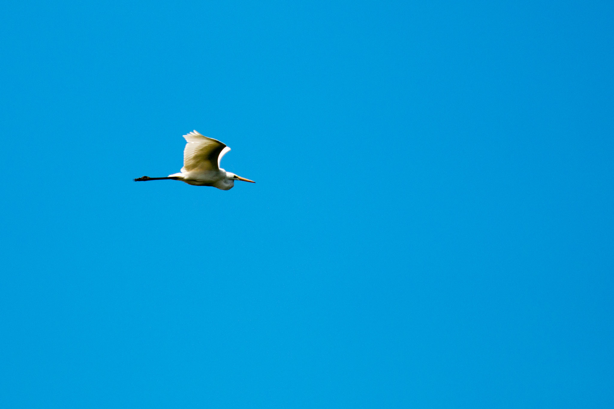 Silberreiher (Ardea alba) im Flug