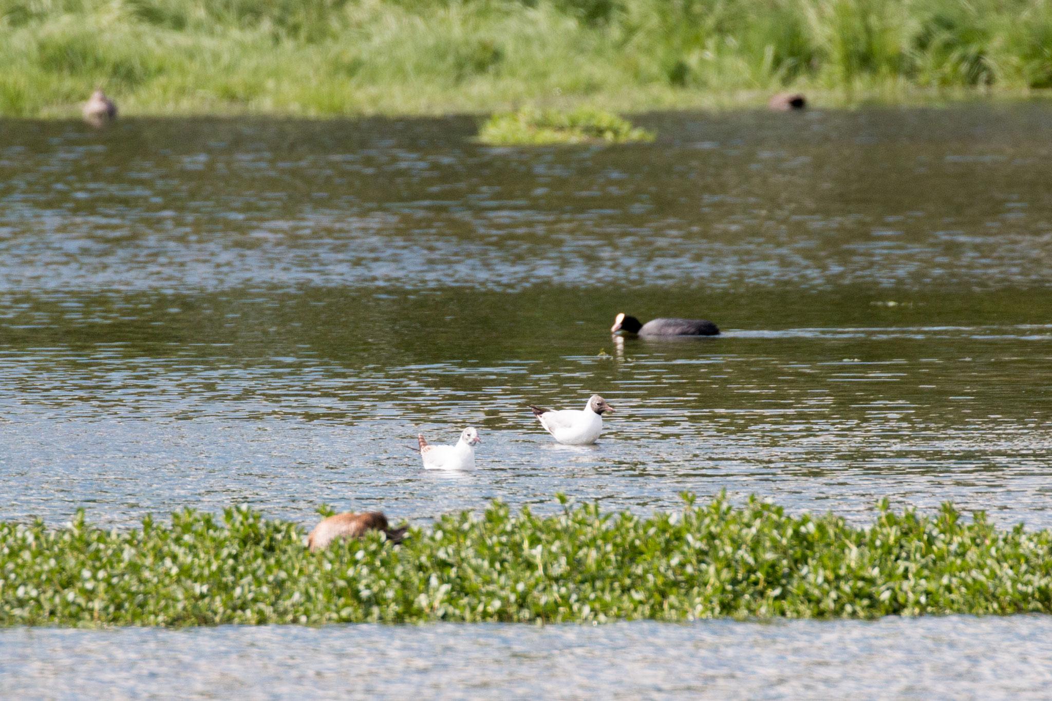 Zwei schwimmende Lachmöwen (Chroicocephalus ridibundus)