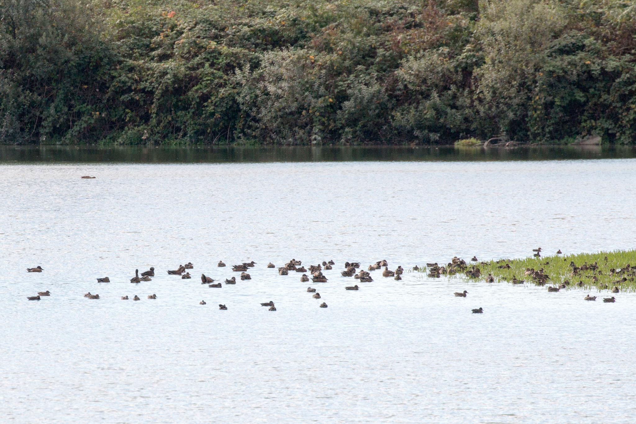 Zahlreiche Löffel-, Schnatter- und weitere Entenarten