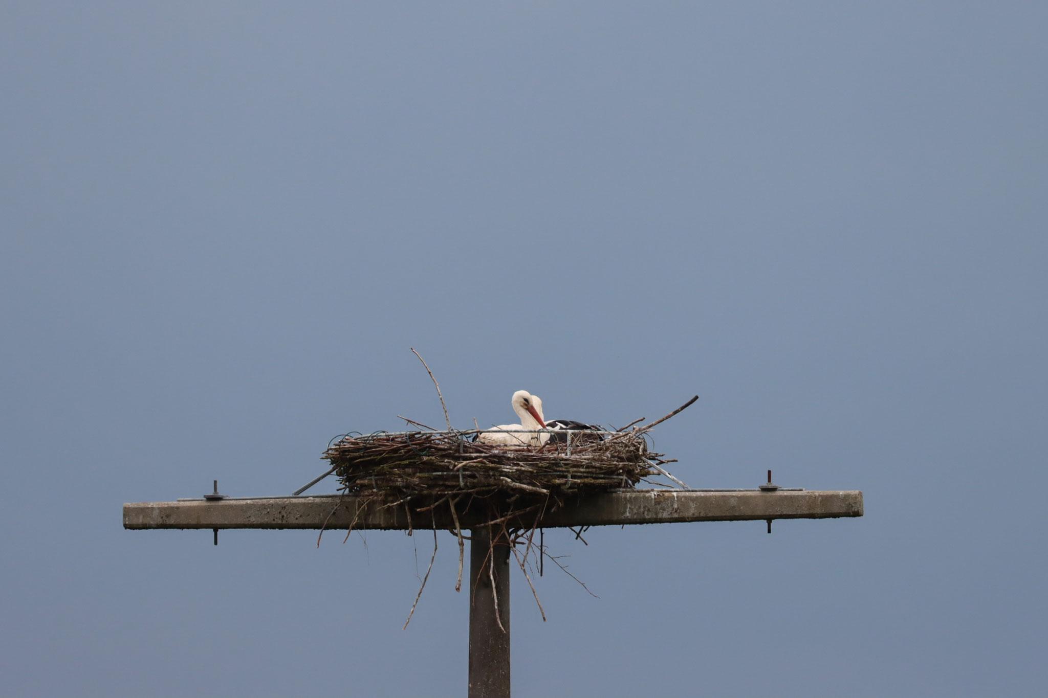 Storchenpaar im Nest am 10.06.20 (Foto: B. Budig)