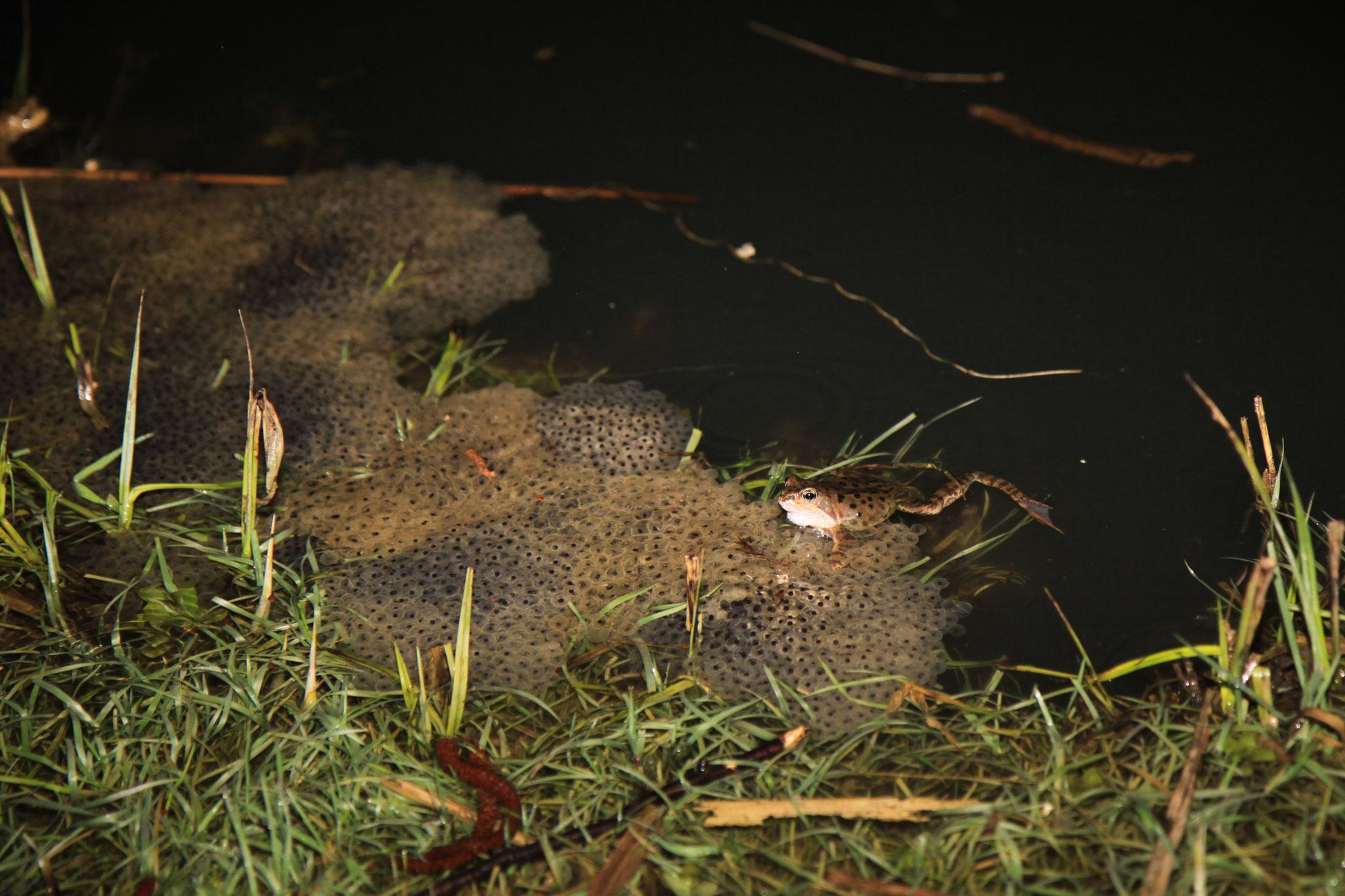 Knurrendes Grasfrosch-Männchen auf Grasfrosch-Laichballen im Forstwaldteich (Foto: B. Budig)
