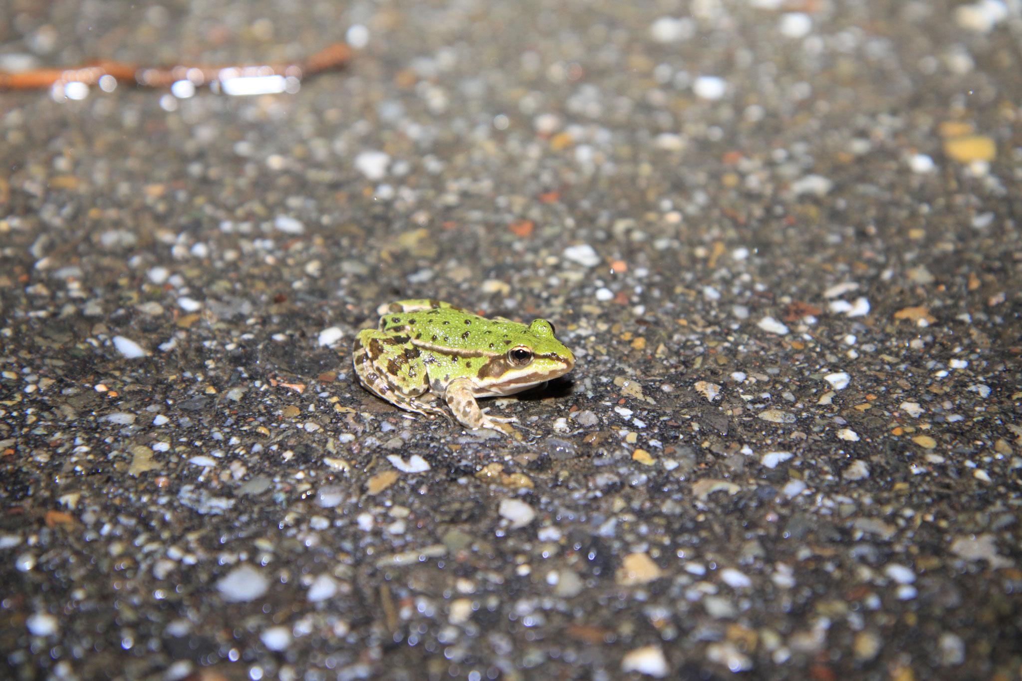 Erstaunlicherweise haben wir auch einen Vertreter des Grünfrosch-Komplexes (Kleiner Teichfrosch oder Wasserfrosch) auf der Erlenstraße gesichtet (Foto: B. Budig)
