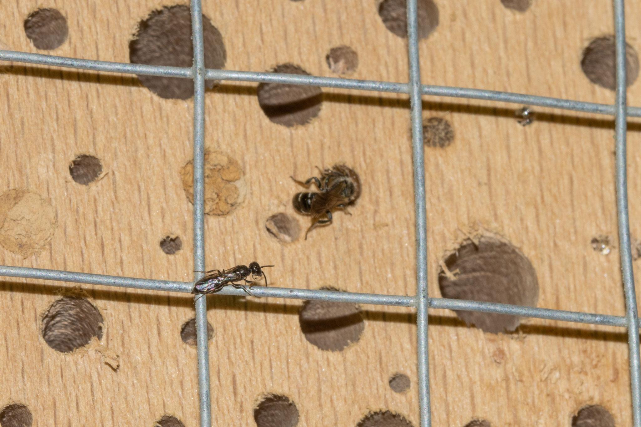Parasitische Keulenwespe [Sapygina decemguttata] auf Gitter; Gewöhnliche Löcherbiene [Heriades truncorum] verschließt ihr Loch (Foto: B. Budig)