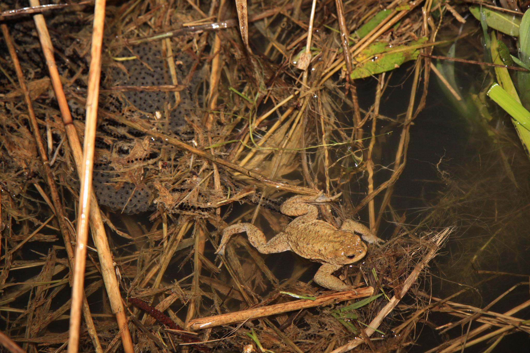 Erdrkröte mit Laichschnüren im Forstwaldteich (Foto: B. Budig)