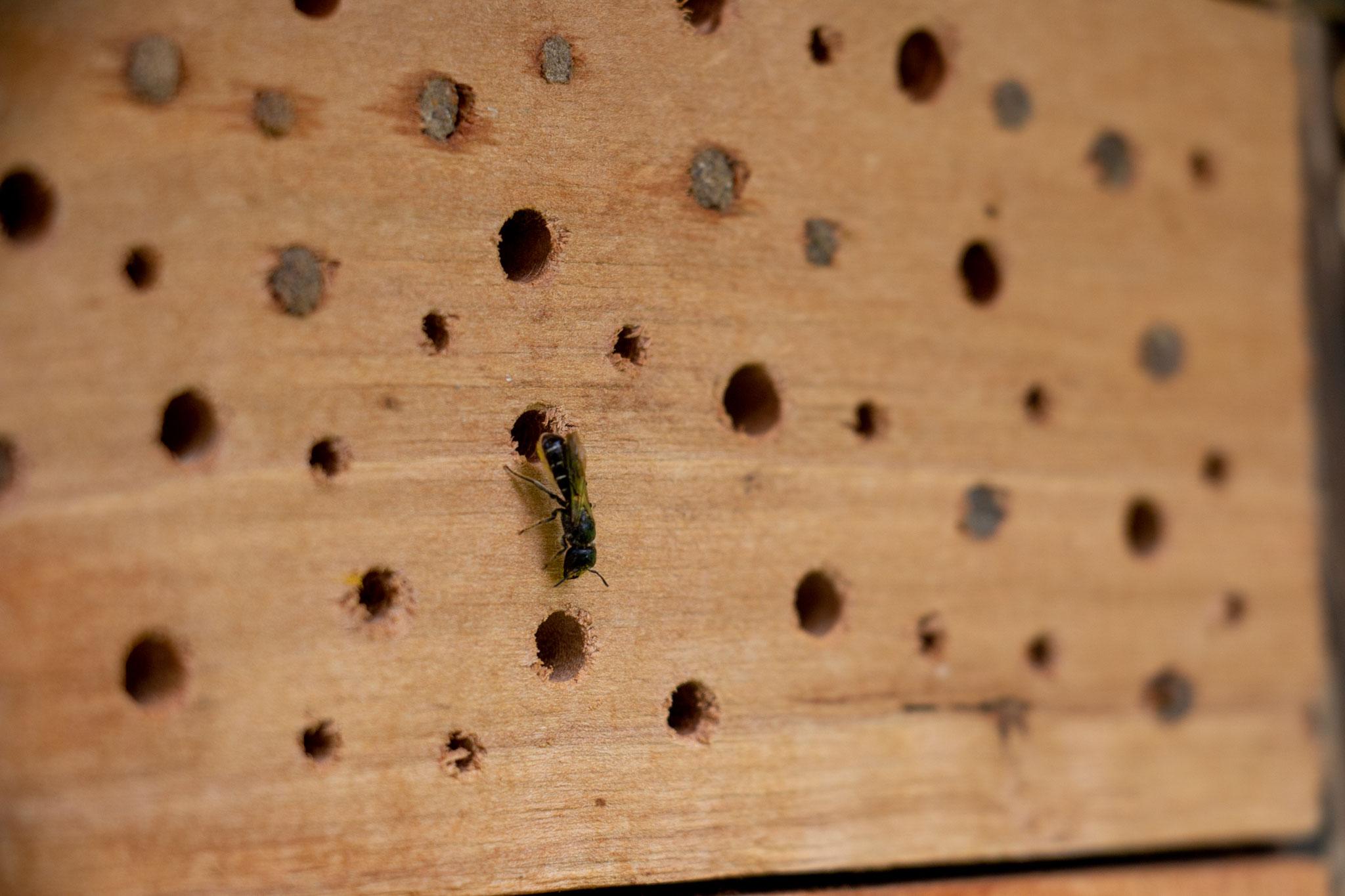 Gewöhnliche Löcherbiene [Heriades truncorum] (Foto: B. Budig)