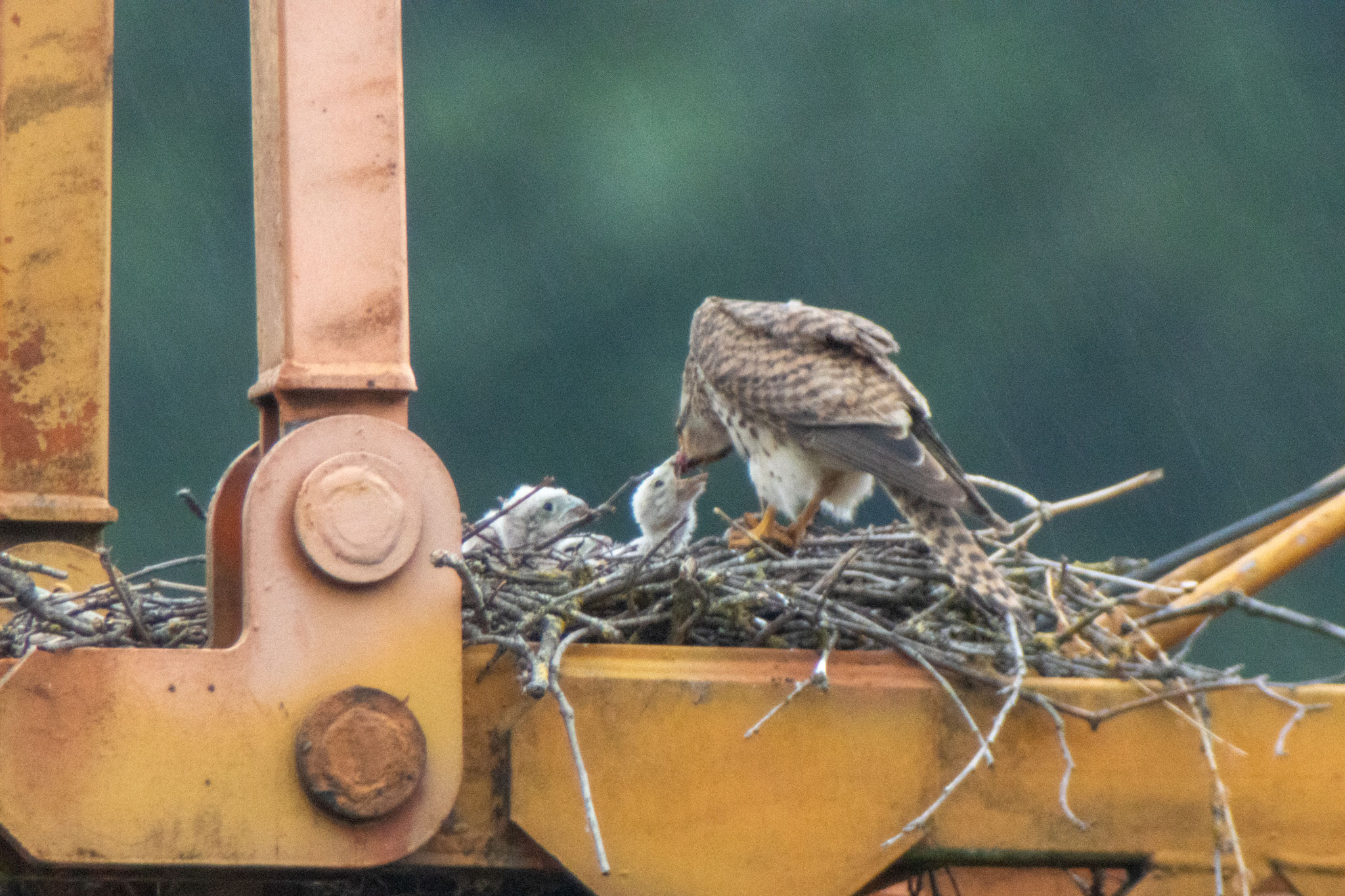 Jungvogelfütterung am 04.06.20 (Foto: B. Budig)