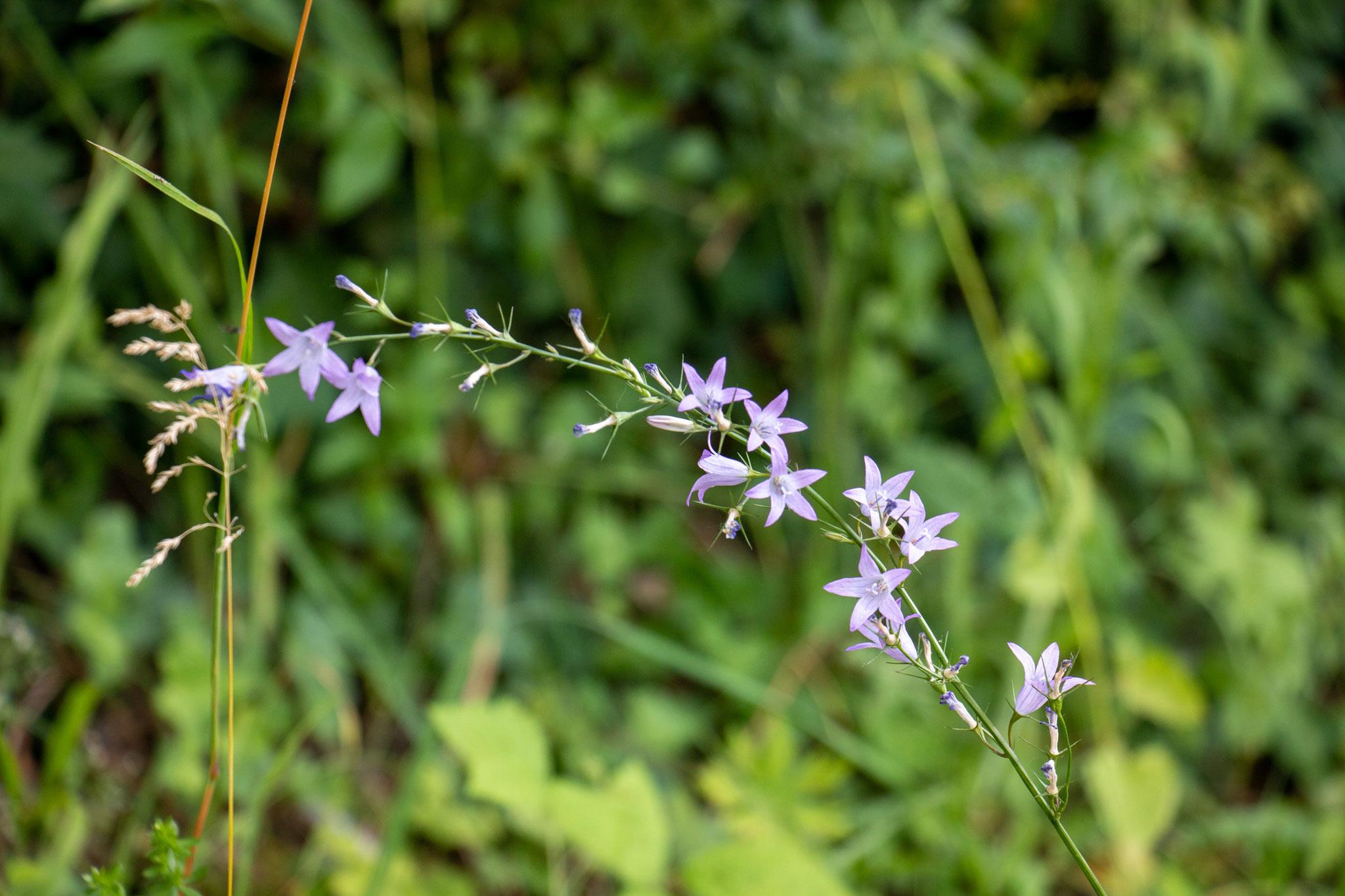 Rapunzel-Glockenblume (Campanula rapunculus) (BB)
