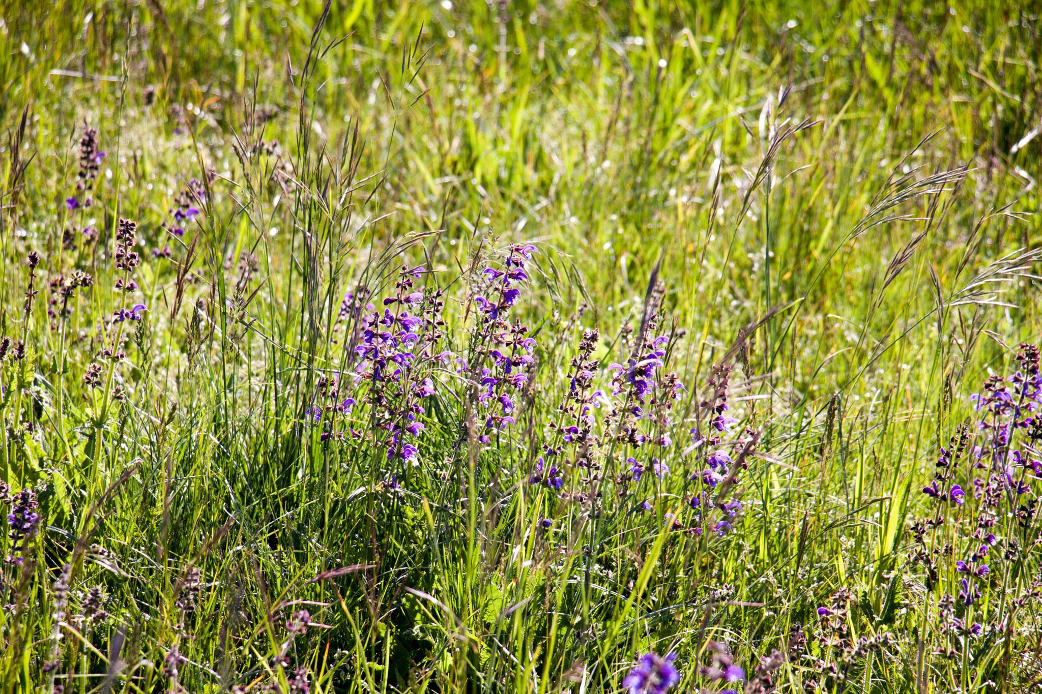 Wiesensalbei (Salvia pratensis)
