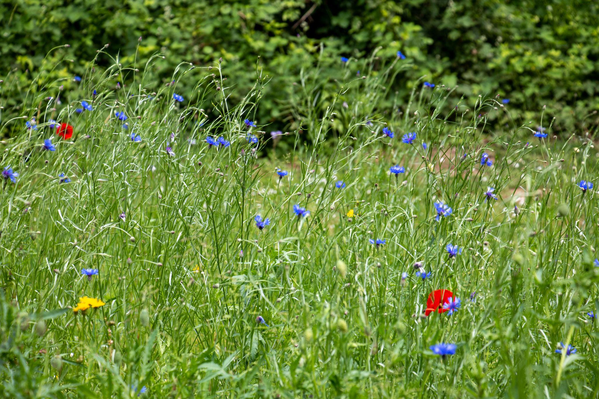 Kornblumen, Klatschmohn und Wiesen-Pippau zwischen Gräsern (Foto: B. Budig)