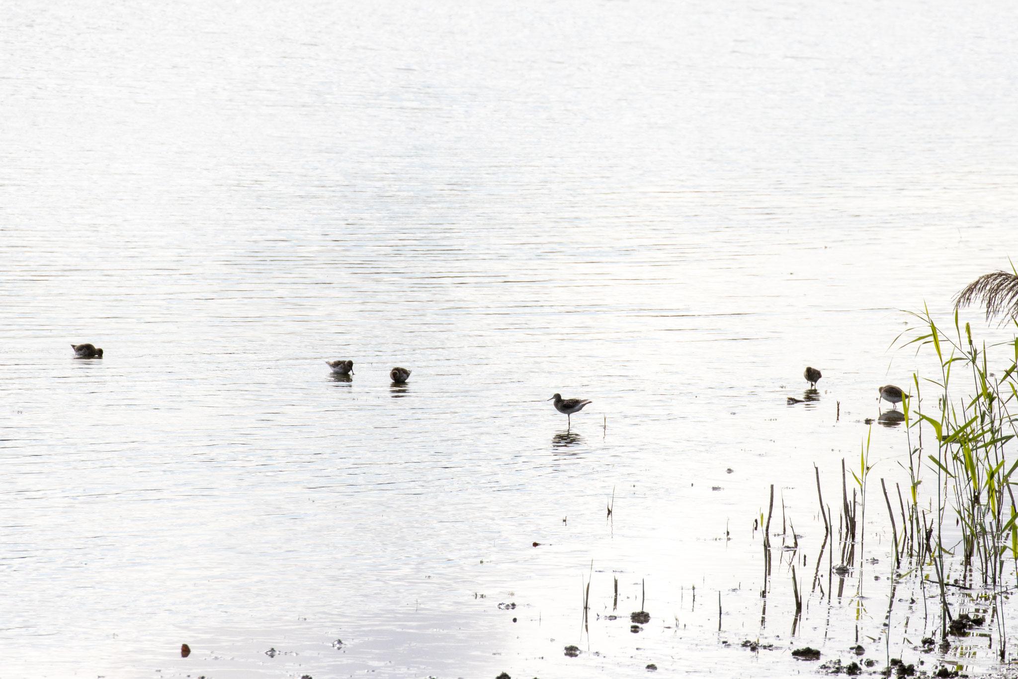 Watende Bruchwasserläufer am Uferrand (Foto: B. Budig)