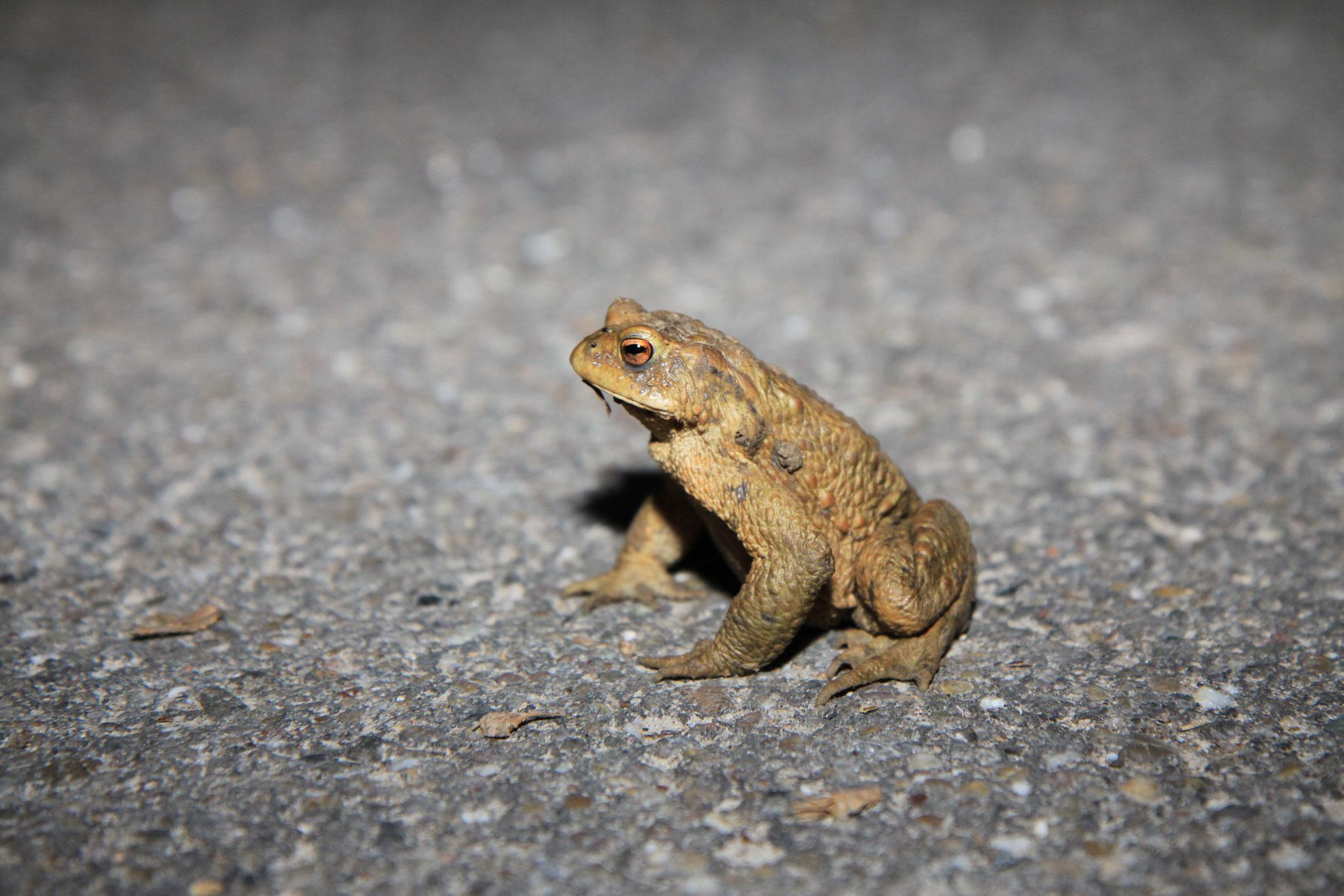 Und tatsächlich, die ersten Erdkröten sind wieder auf der Erlenstraße. (Foto: B. Budig)