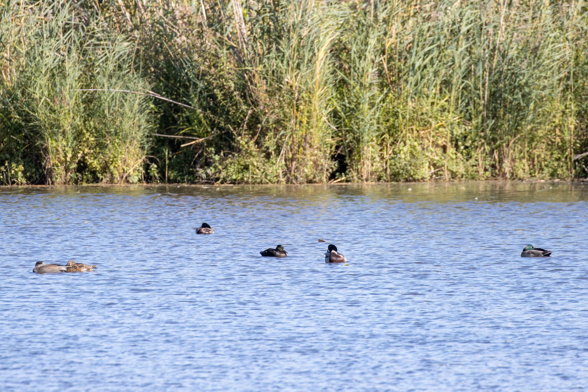 Stockenten und Schnatterenten auf dem See (Foto: B. Budig)