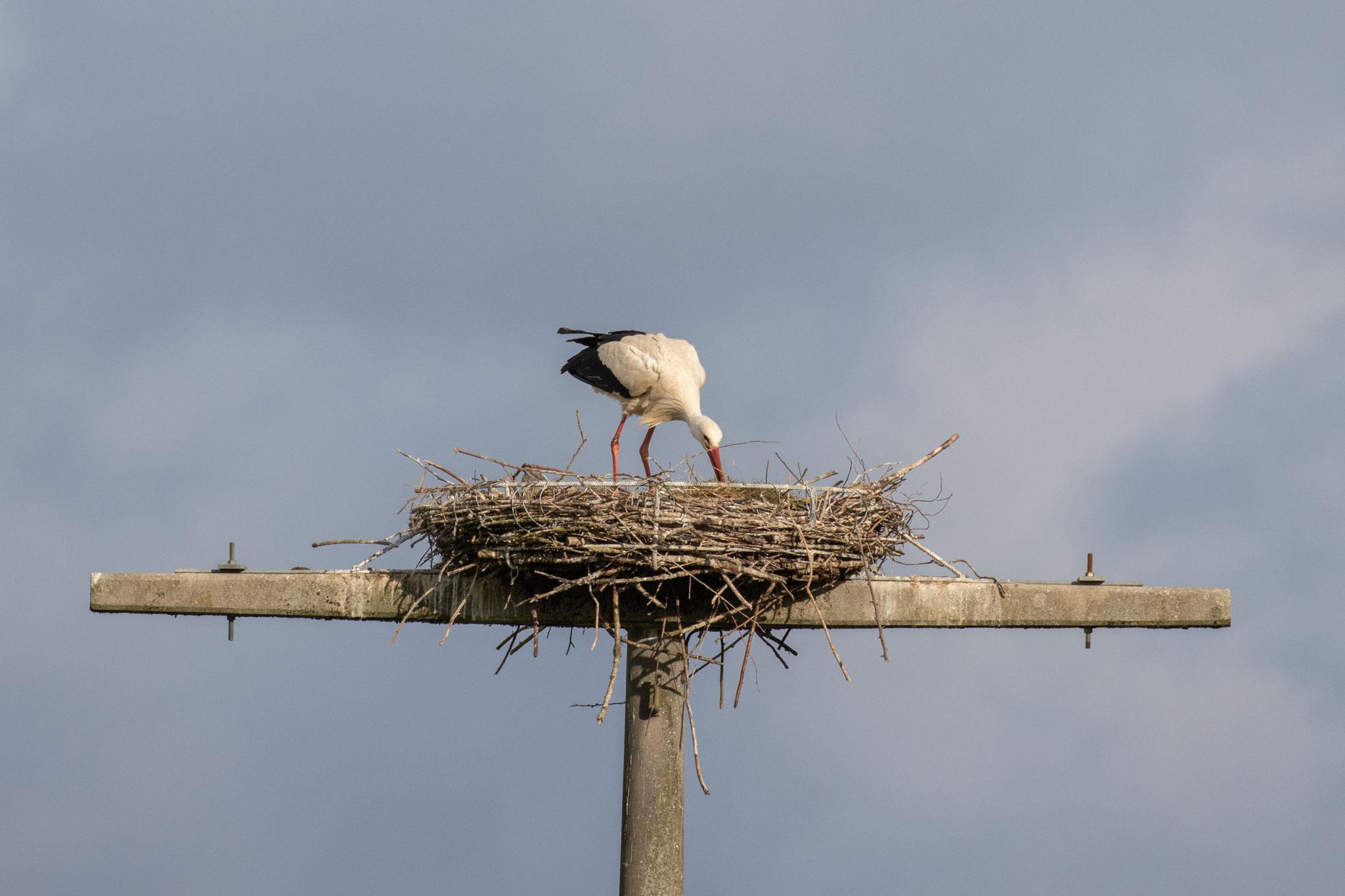 Das Nest wird optimiert am 19.05.2021 (Foto: B. Budig)
