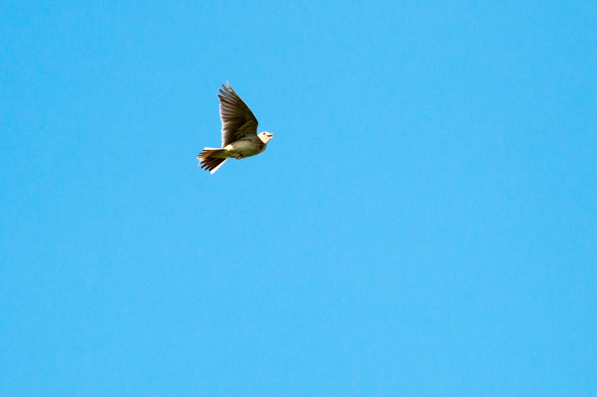 Singende Feldlerche (Alauda arvensis) im Flug