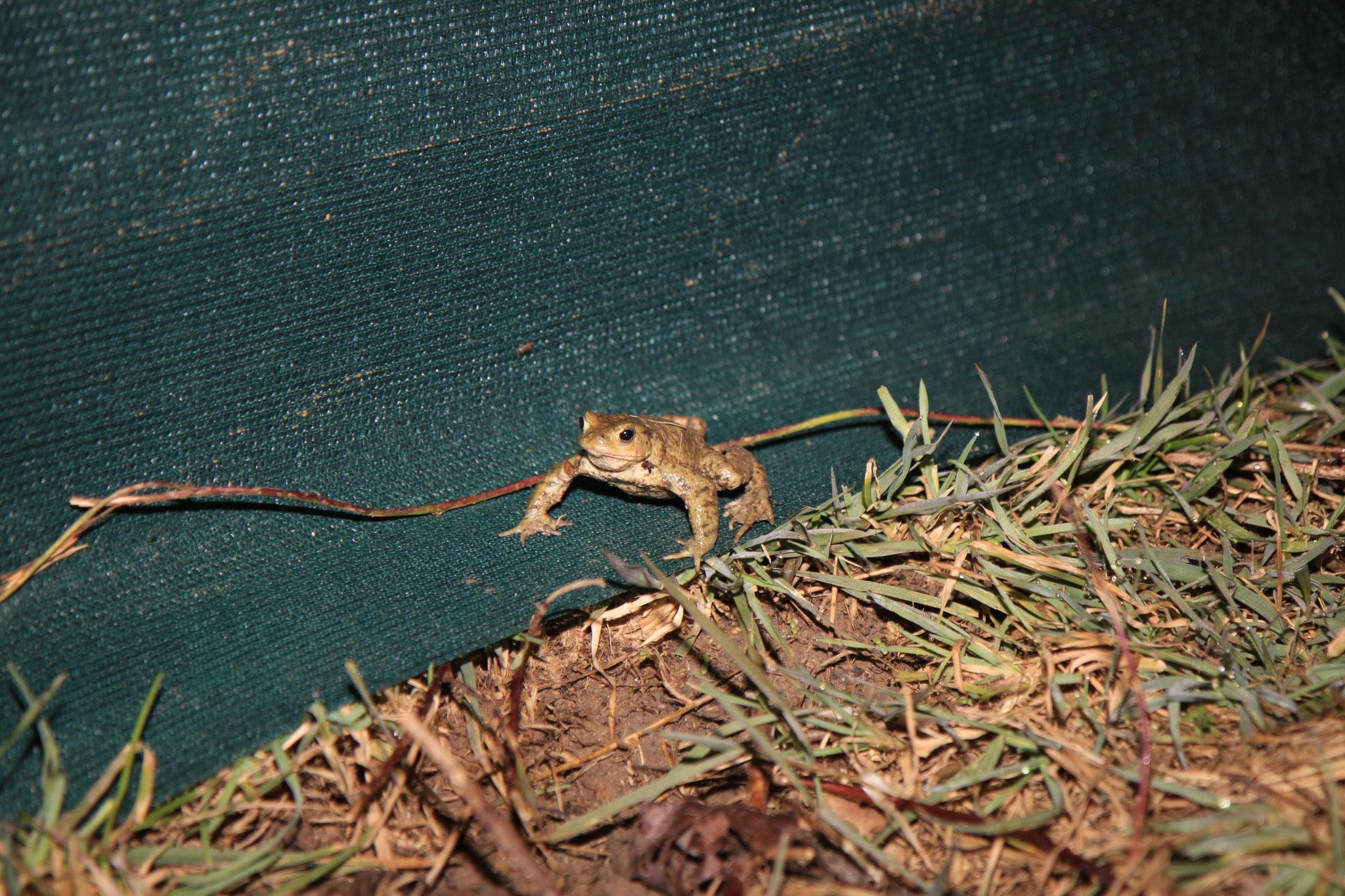 Die Erdkröten laufen schön entlang des Gewebeplansockels. (Foto: B. Budig)