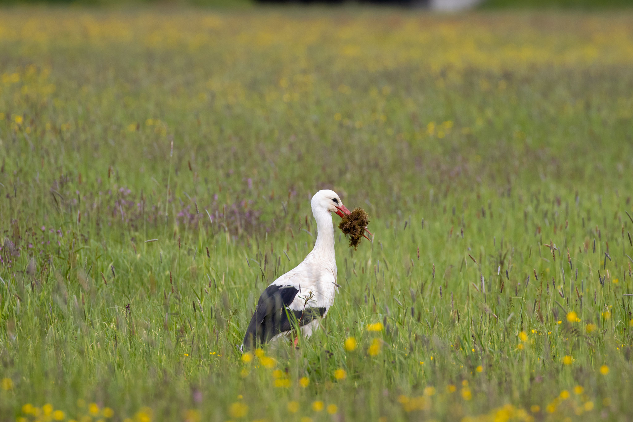 Storch mit Nistmaterial im Schnabel am 20.05.21 (Foto: H. Budig)