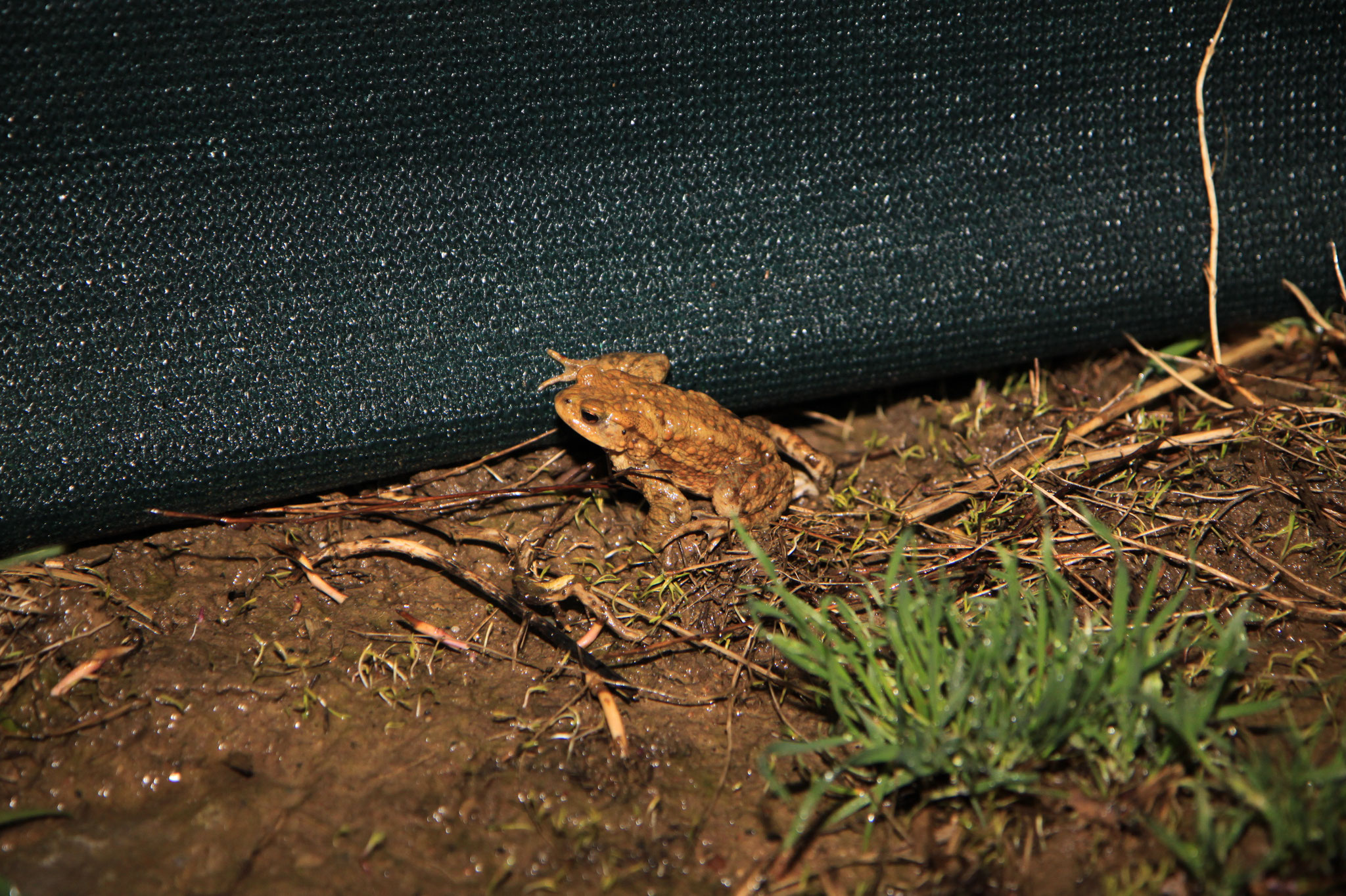 Die Erdkröten sind nun auf dem Rückweg (Foto: B. Budig)