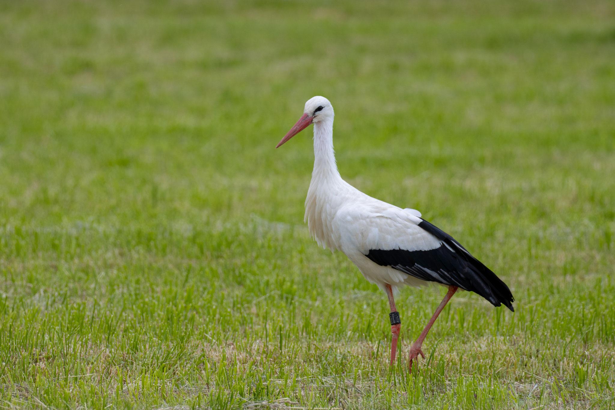 Storch auf Nahrungssuche im Wiesental am 03.06.21 (Foto: H. Budig)