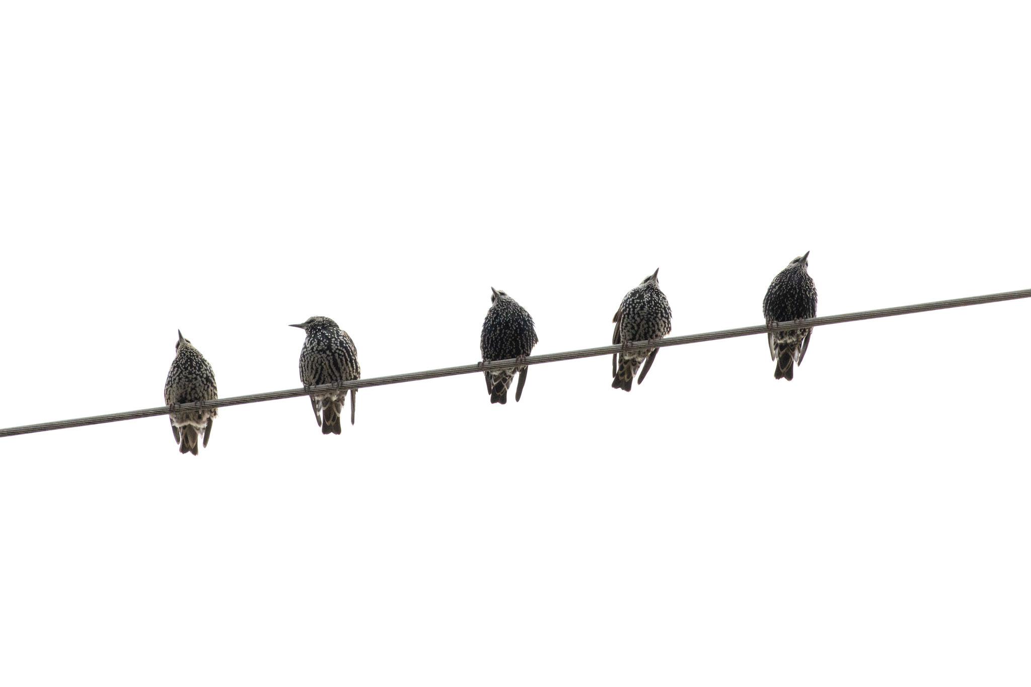 Stare auf einer Stromleitung (Foto: B. Budig)