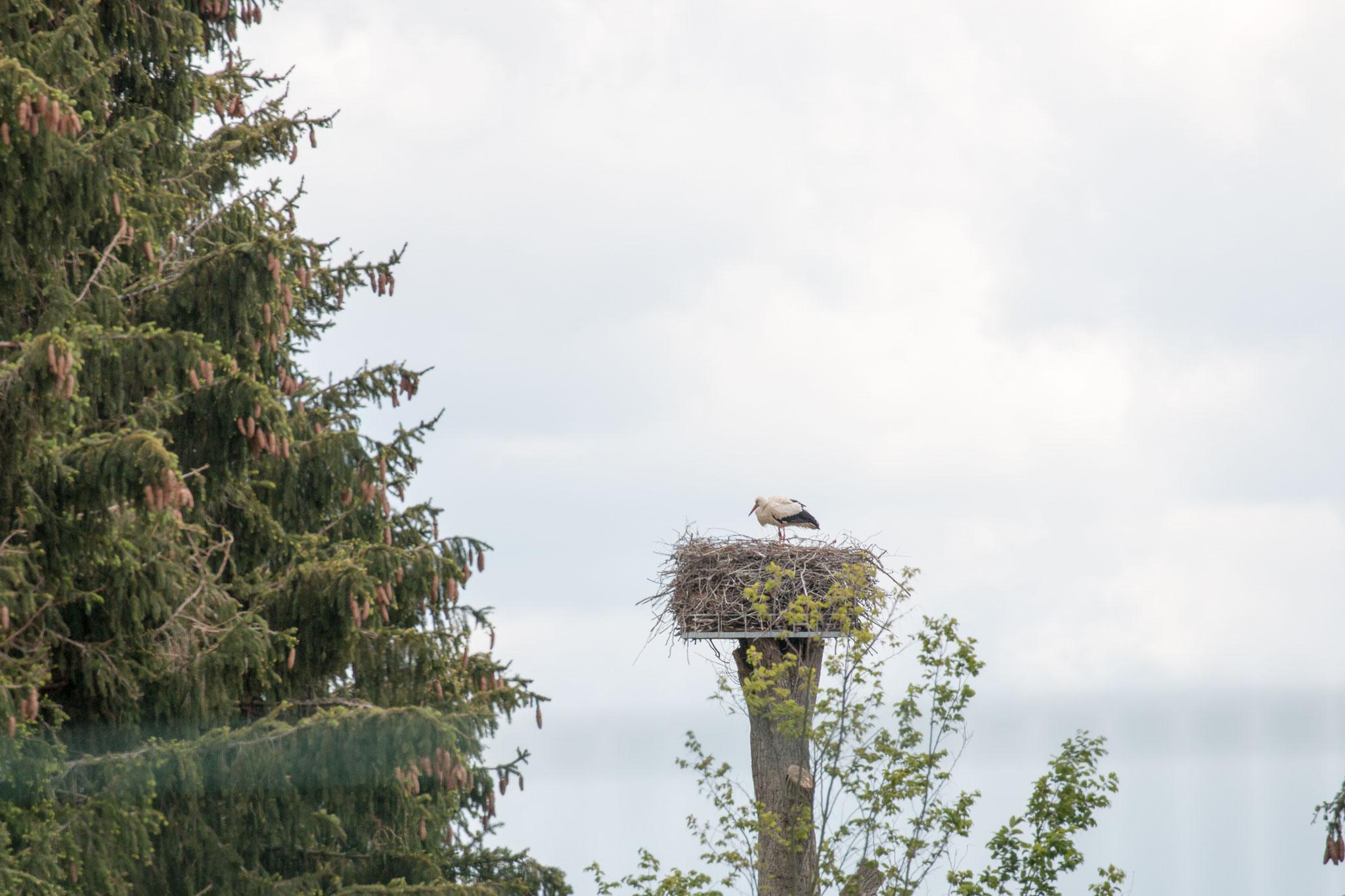 Weißstorch (Ciconia ciconia) auf einer installierten Storchennisthilfe